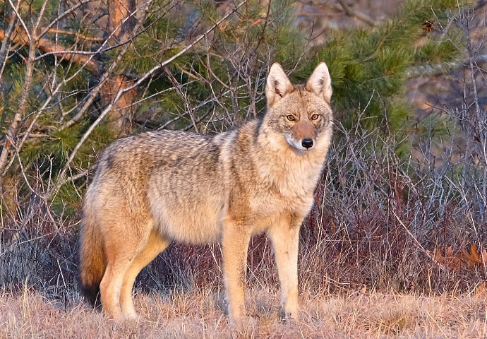 5) An Eastern Coyote in its winter coat.    USFWS PHOTO