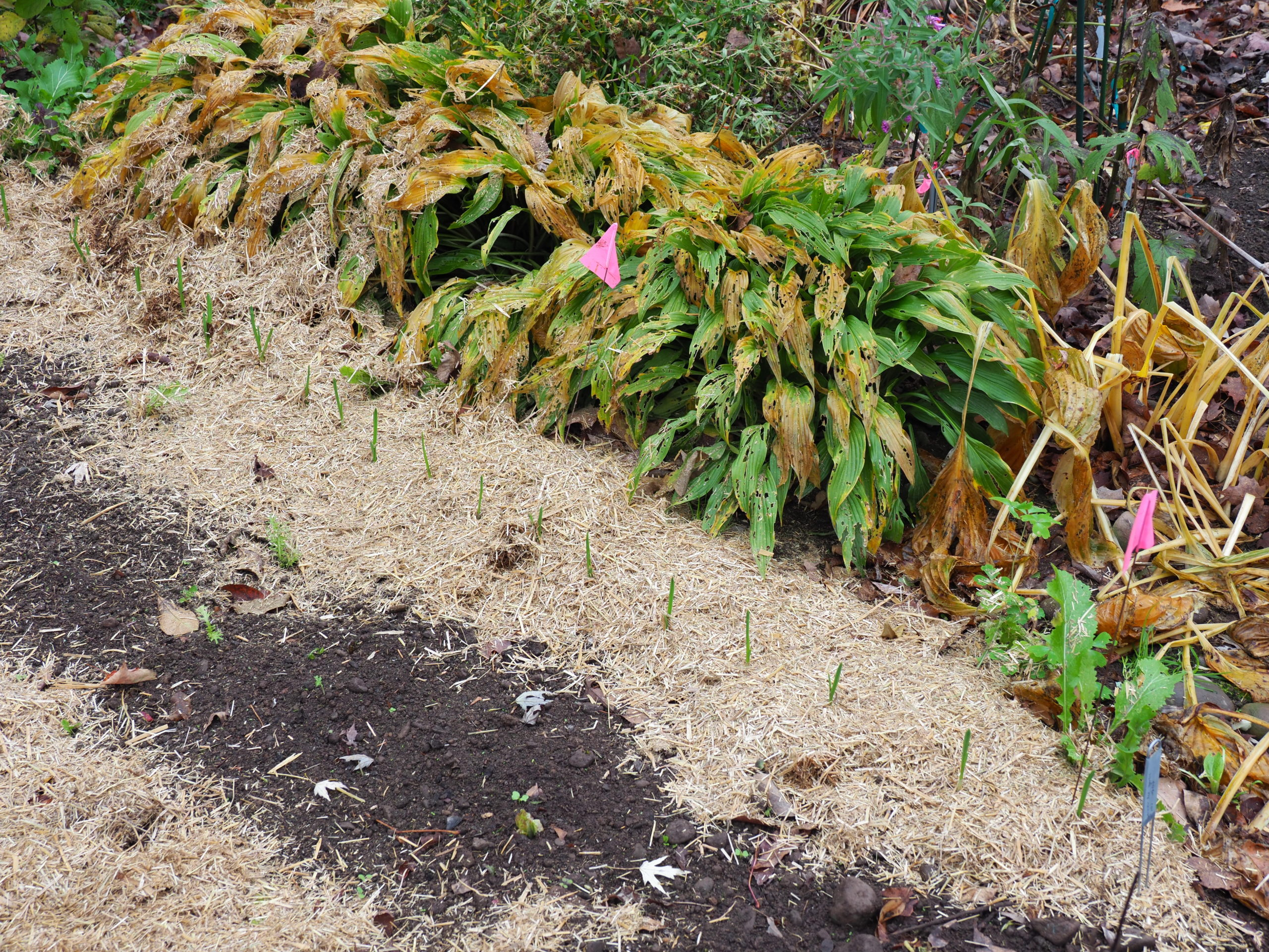A row of garlic planted on October 10 showed signs of sprouting after a warm spell. With freezing temps weeks later, a light mulch was added. Two weeks later, before the latest freeze, 2 inches of maple leaves were added.