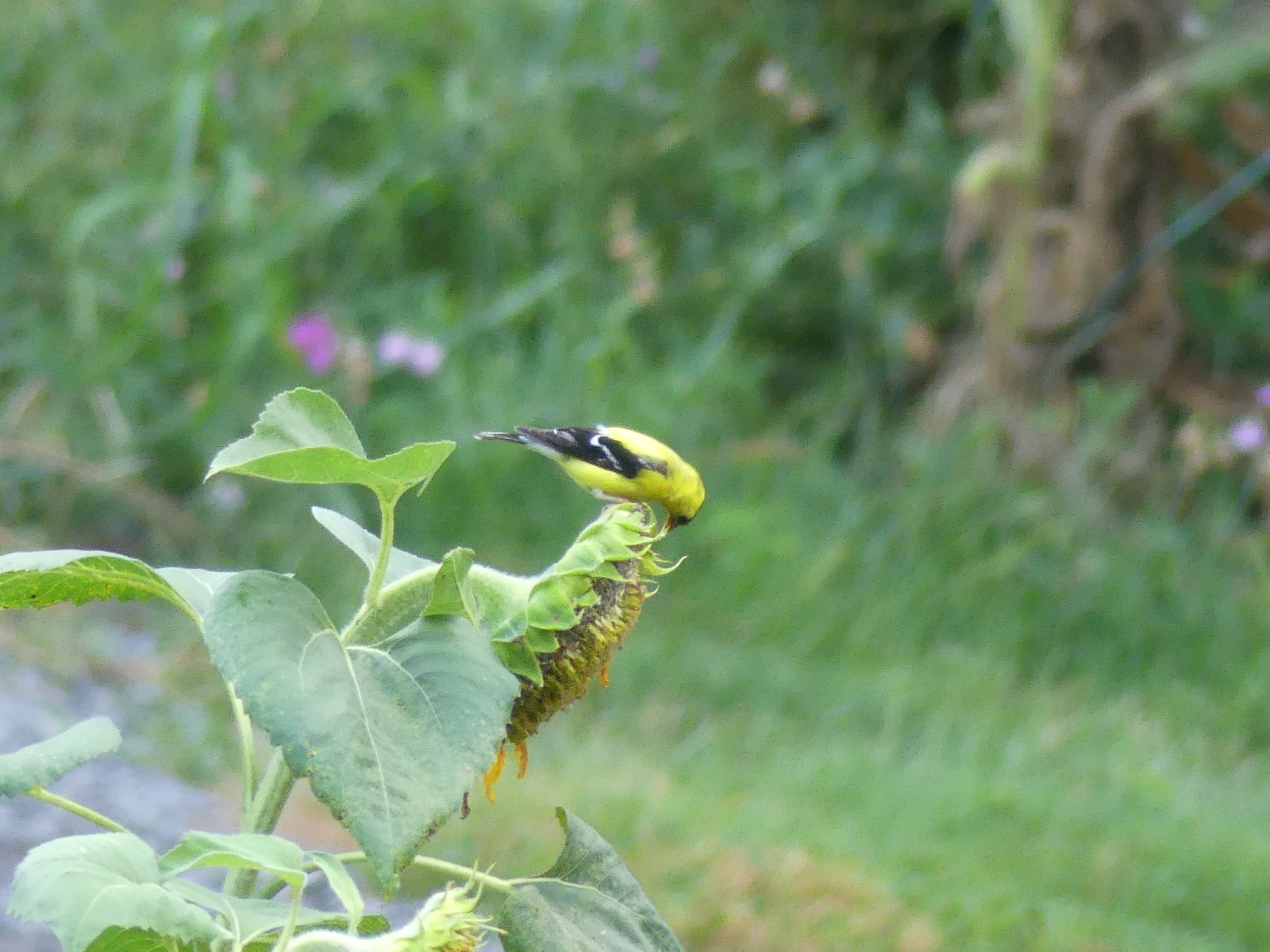 This male goldfinch and his companions feasted on several sunflower seed heads for a couple of weeks then moved on to the smaller Rudbeckia triloba flowers for more seeds.