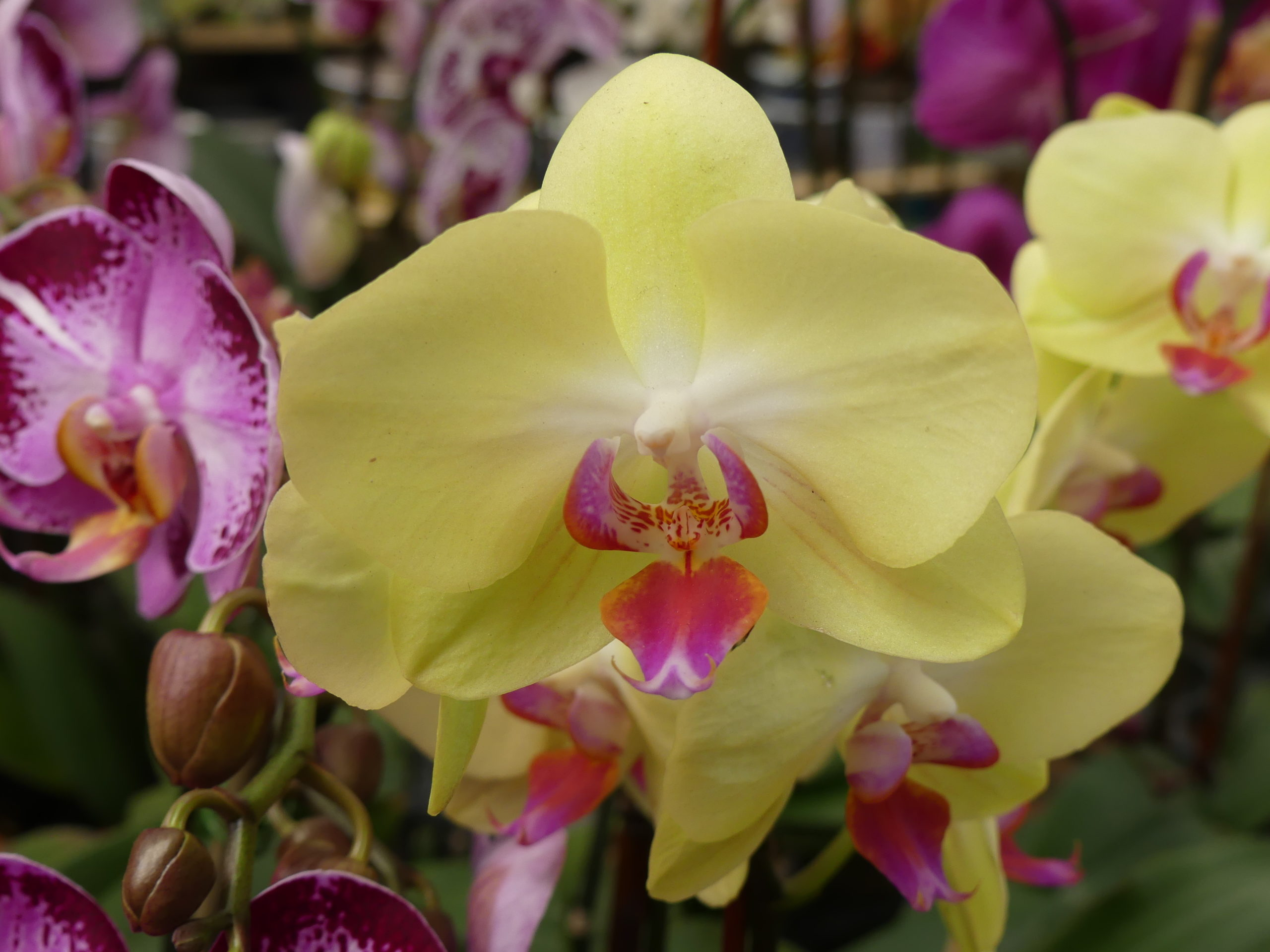 This beautiful yellow Phalaenopsis orchid could be blooming in your home, now. This is one of the easier orchids, and once you get the hang of it the flowers last for months.