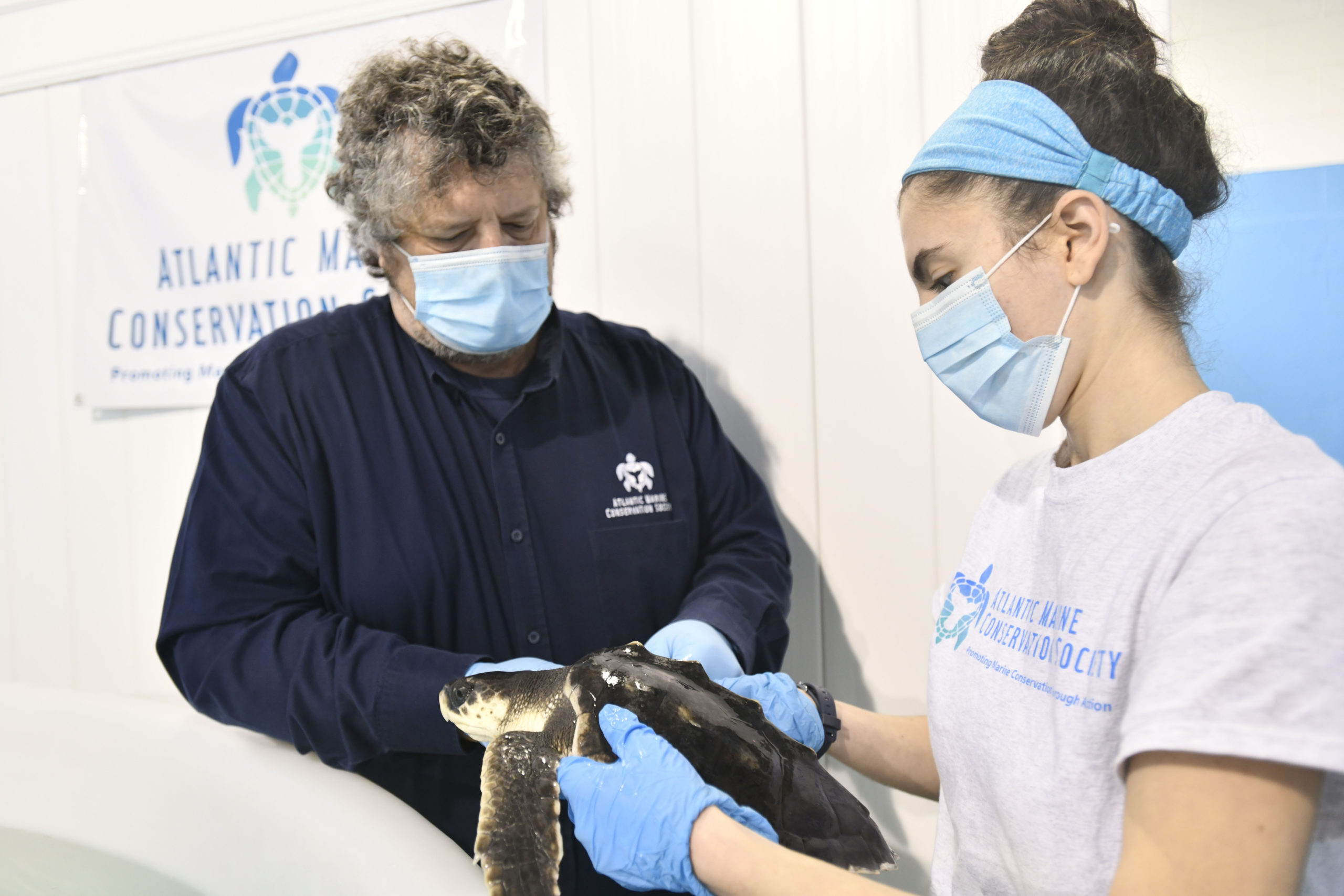 Robert DiGiovanni and Sammi Chaves work to fix the band on one of the cold stunned Kemp's ridley sea turtles residing at Atlantic Marine Conservation Society. DANA SHAW