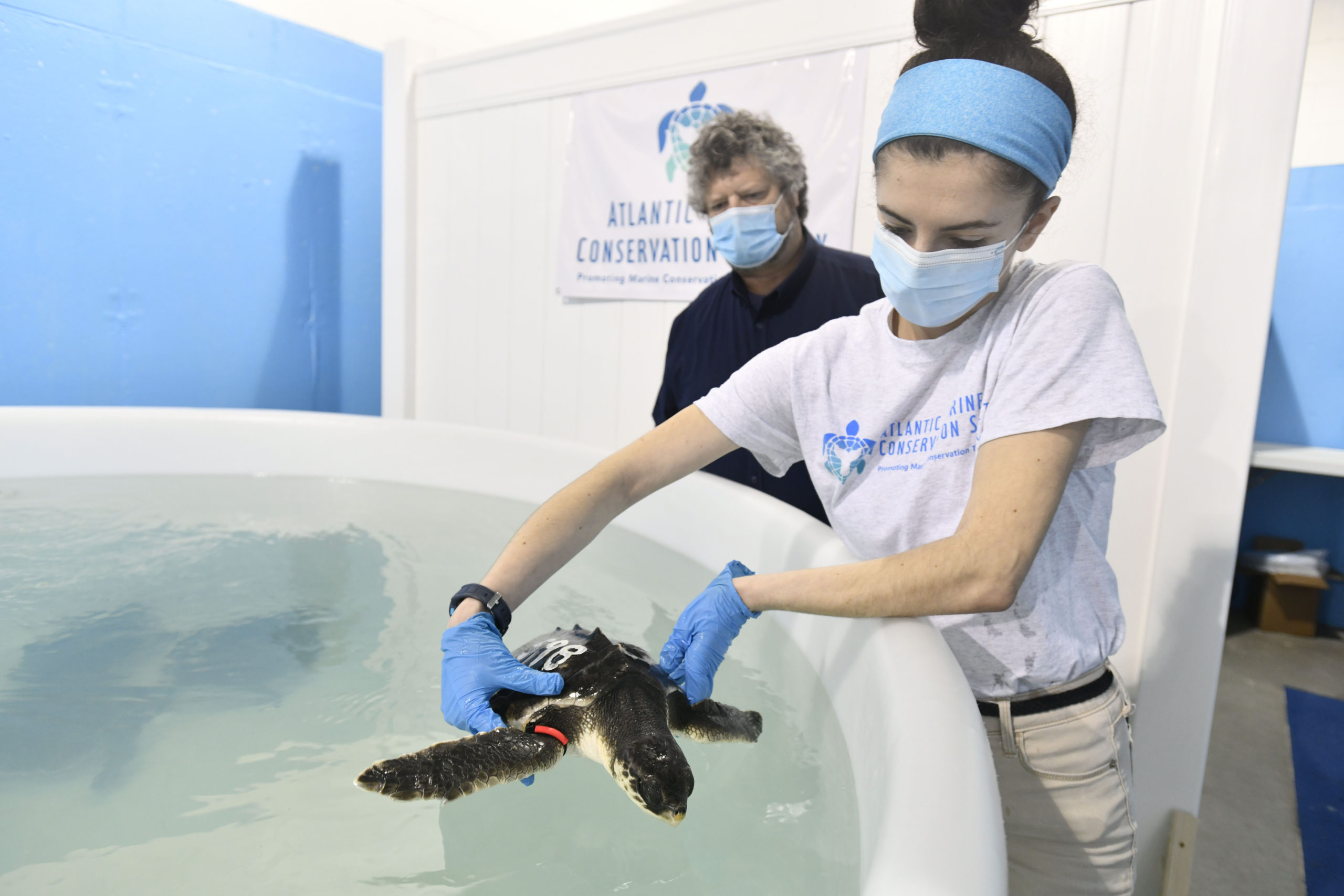 Sammi Chaves returns one of the cold stunned Kemp's ridley sea turtles residing at Atlantic Marine Conservation Society to its tank as Robert DiGiovanni looks on.  DANA SHAW