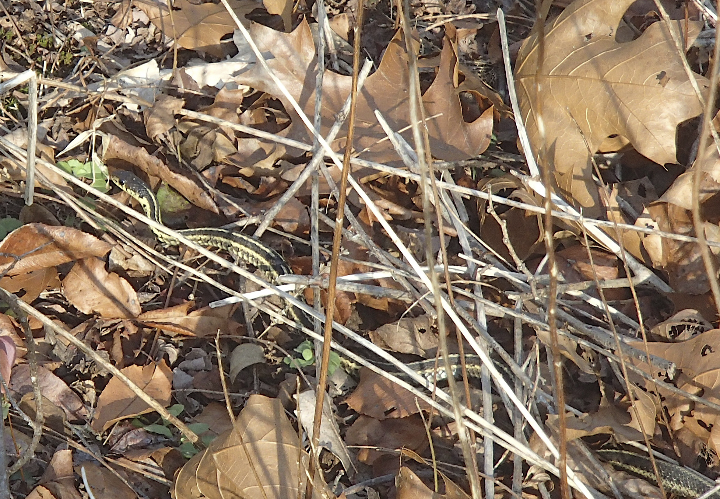 Sharp-eyed naturalist Jennifer Murray spotted this Garter Snake basking in the midday sun last Friday.  MIKE BOTTINI