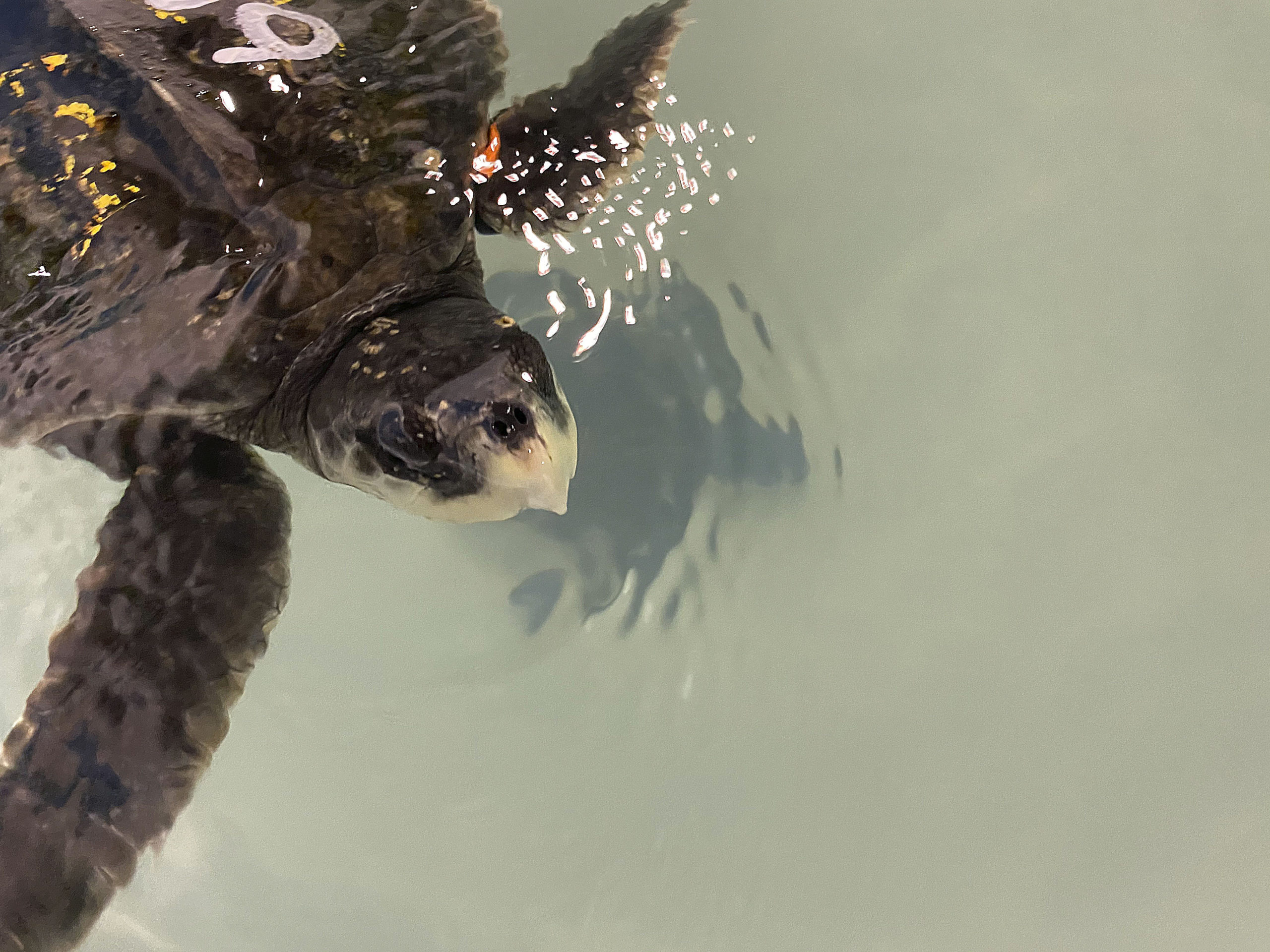 One the cold stunned Kemp's ridley sea turtles residing at Atlantic Marine Conservation Society. DANA SHAW