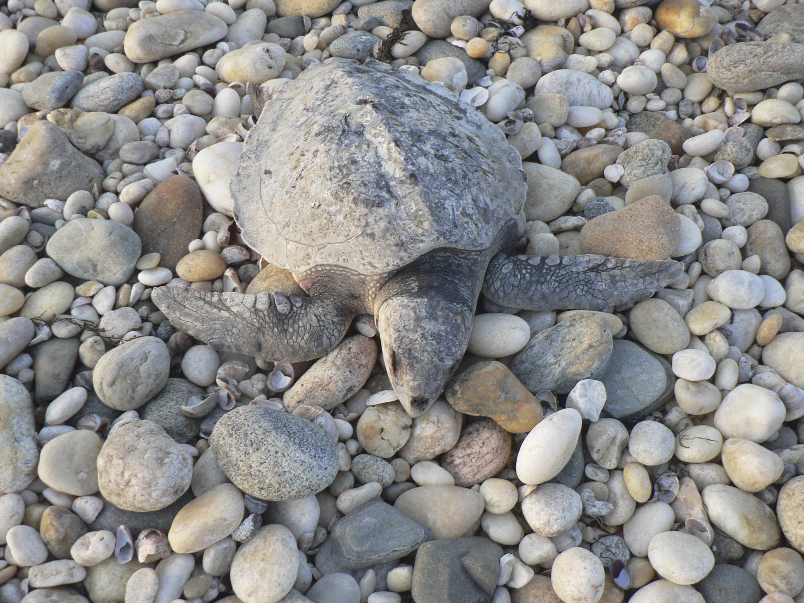 A cold-stunned sea turtle that didn't make it. JIM MONACO