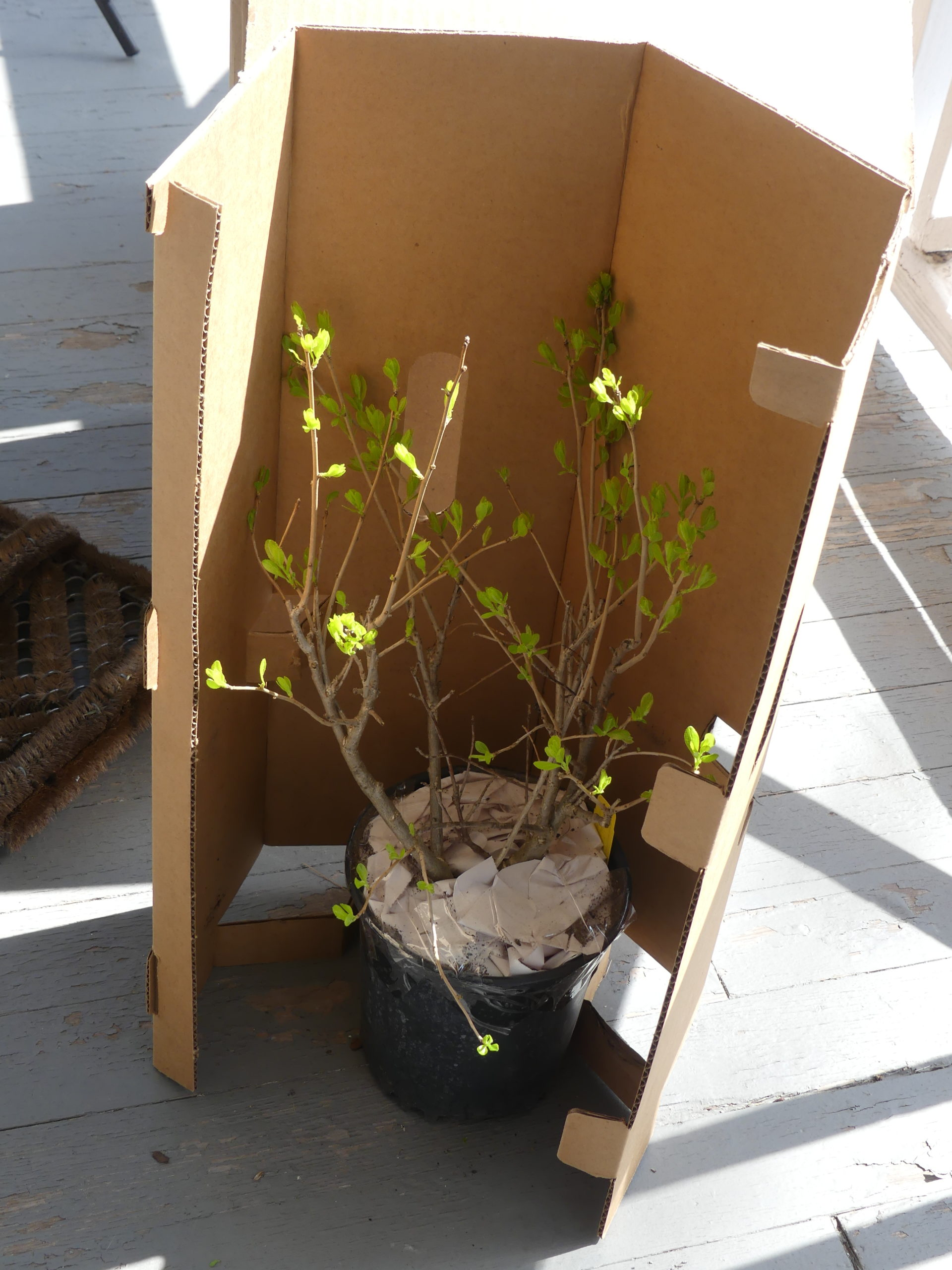 Even fairly large plants like this Ilex verticillata can be shipped by UPS and FedEx. (UPS is always my choice.) This plant is in a 1.5-gallon pot and was about 2 feet tall.  It gets put in a protective cardboard sleeve, seen here, then it goes into an outer shipping box.  Paper put on top of the soil then taped to the pot edge prevents soil loss during shipping.