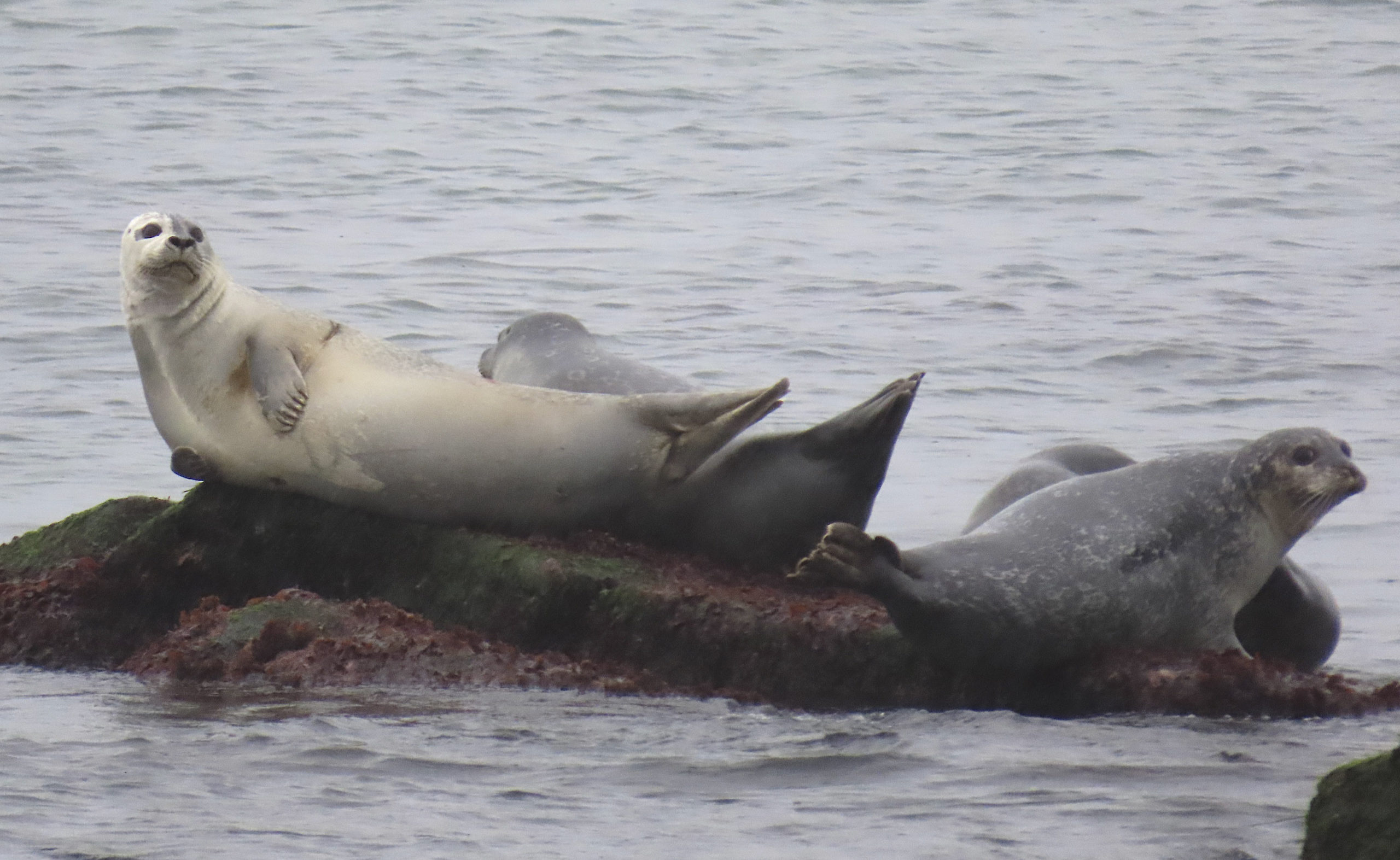 Harbor Seals basking on a calm December day.   MIKE BOTTINI