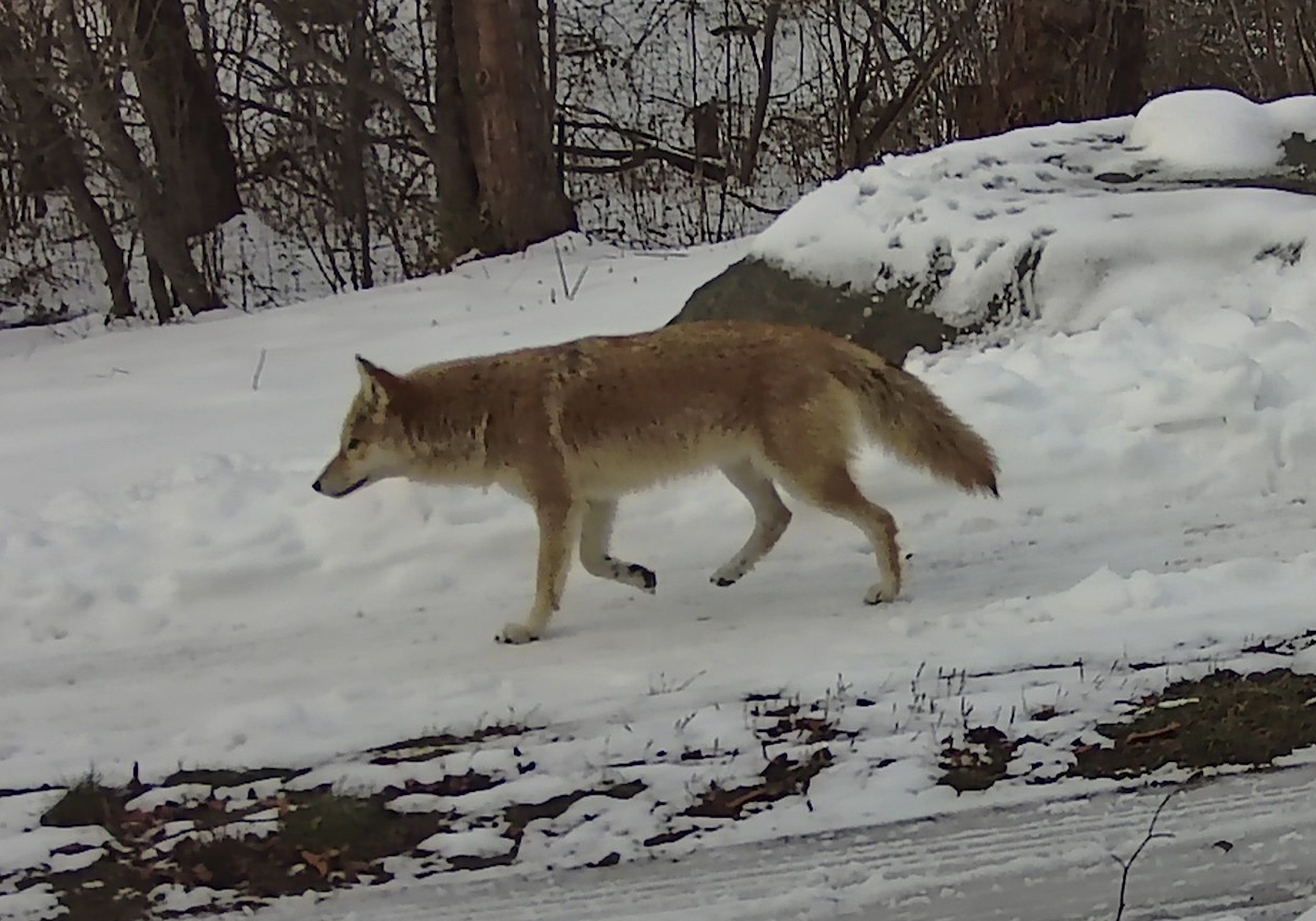 A handsome coyote photographed last month on Fishers Island.  TRACY BROCK