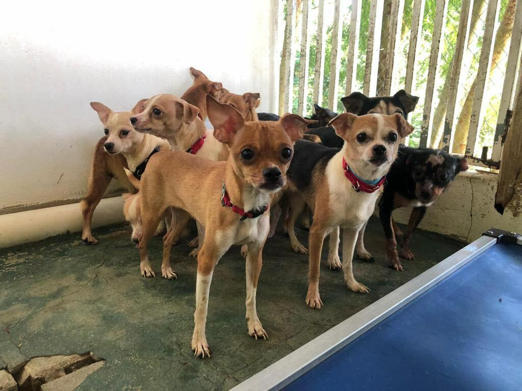 The Southampton Town Animal Shelter Foundation is looking for foster parents for 20 chihuahuas that were rescued from a hoarding situation in Puerto Rico.