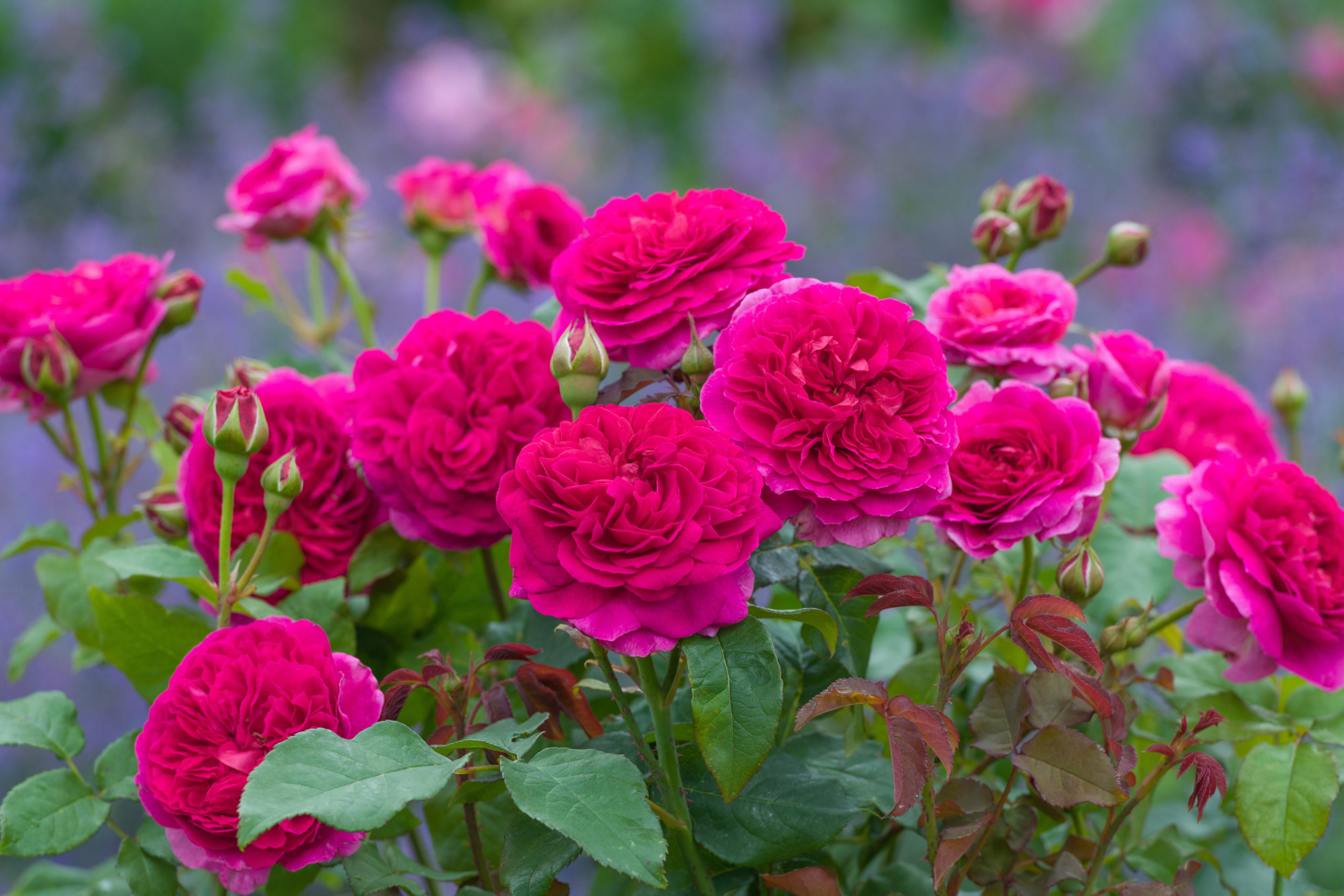This new English rose from David Austin Roses grows to about 4 feet tall and 4 feet wide. With good disease resistance, great color and fragrance, it should do well in Hamptons gardens.