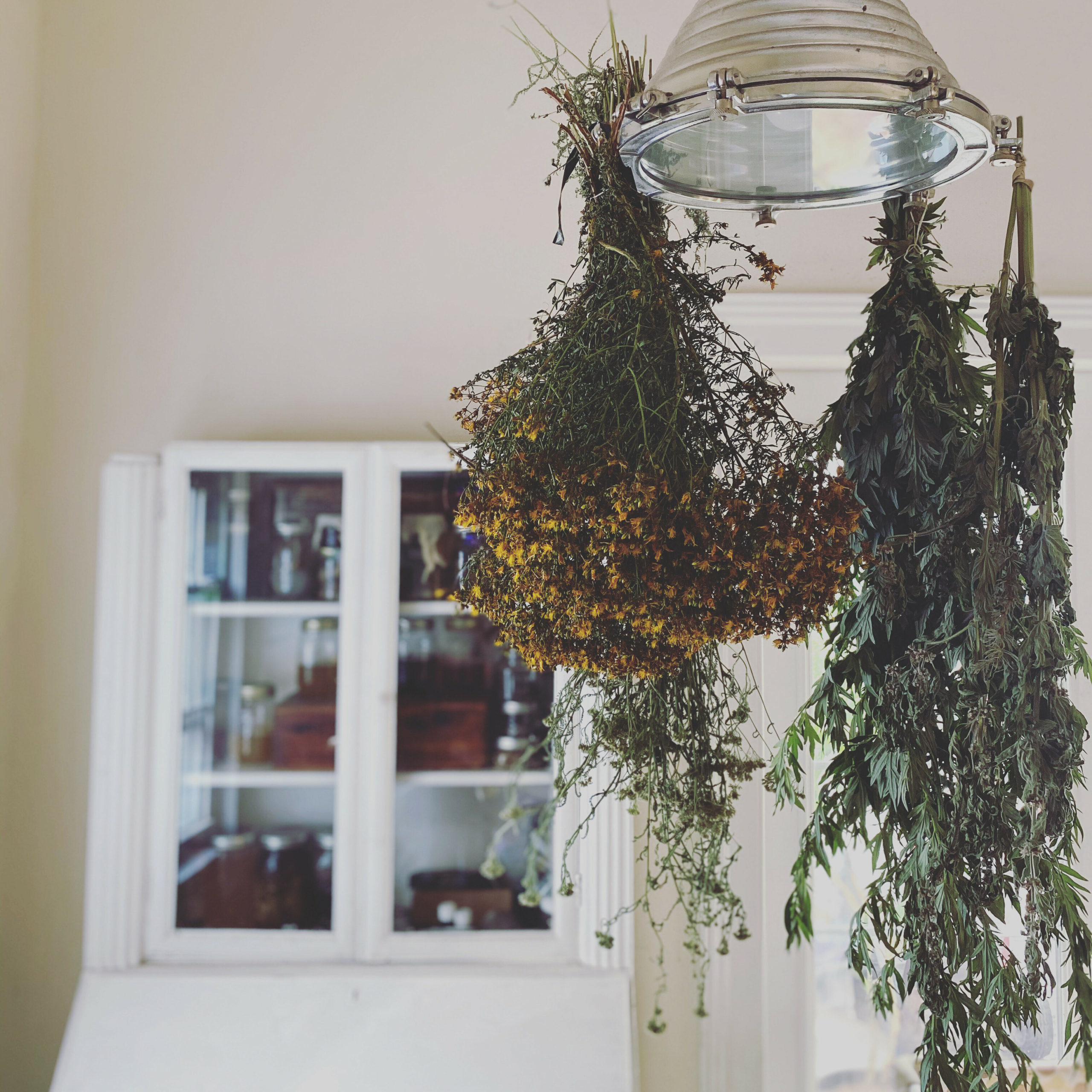 Drying herbs for Living Wild on Long Island.