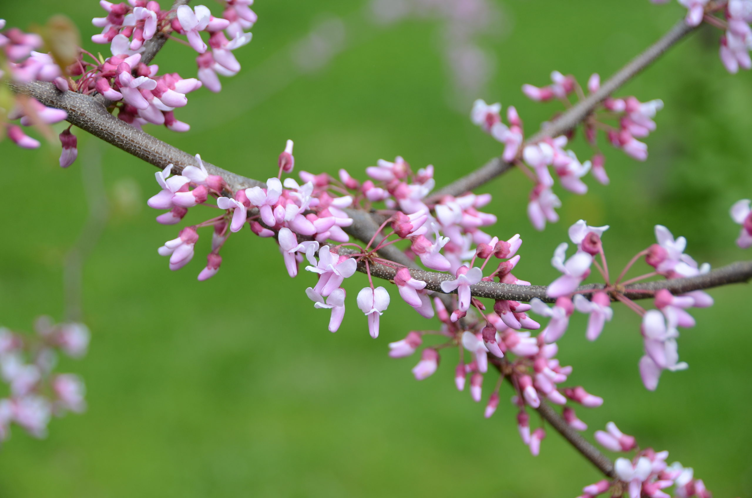 Redbuds (Cercis canadensis) as well as flowering almonds (Prunus triloba) can provide long branch cuttings with colors ranging from pinks in the redbuds to darker and more fragrant flowers in the flowering almonds.