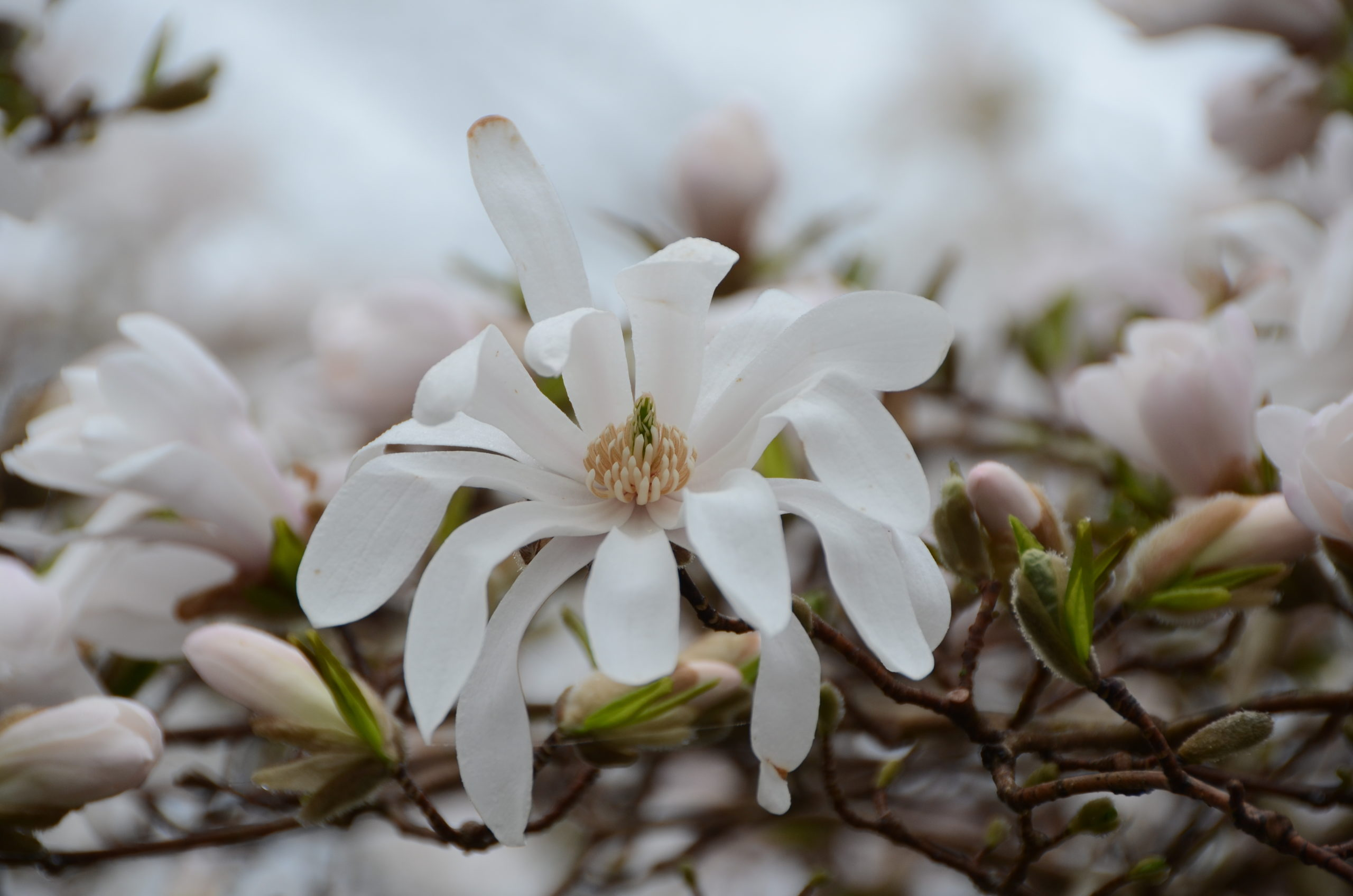 Star magnolia (Magnolia stellate) flowers are very different from standard magnolias. Star flowers are almost always white, somewhat smaller, with a mild but pleasant aroma.