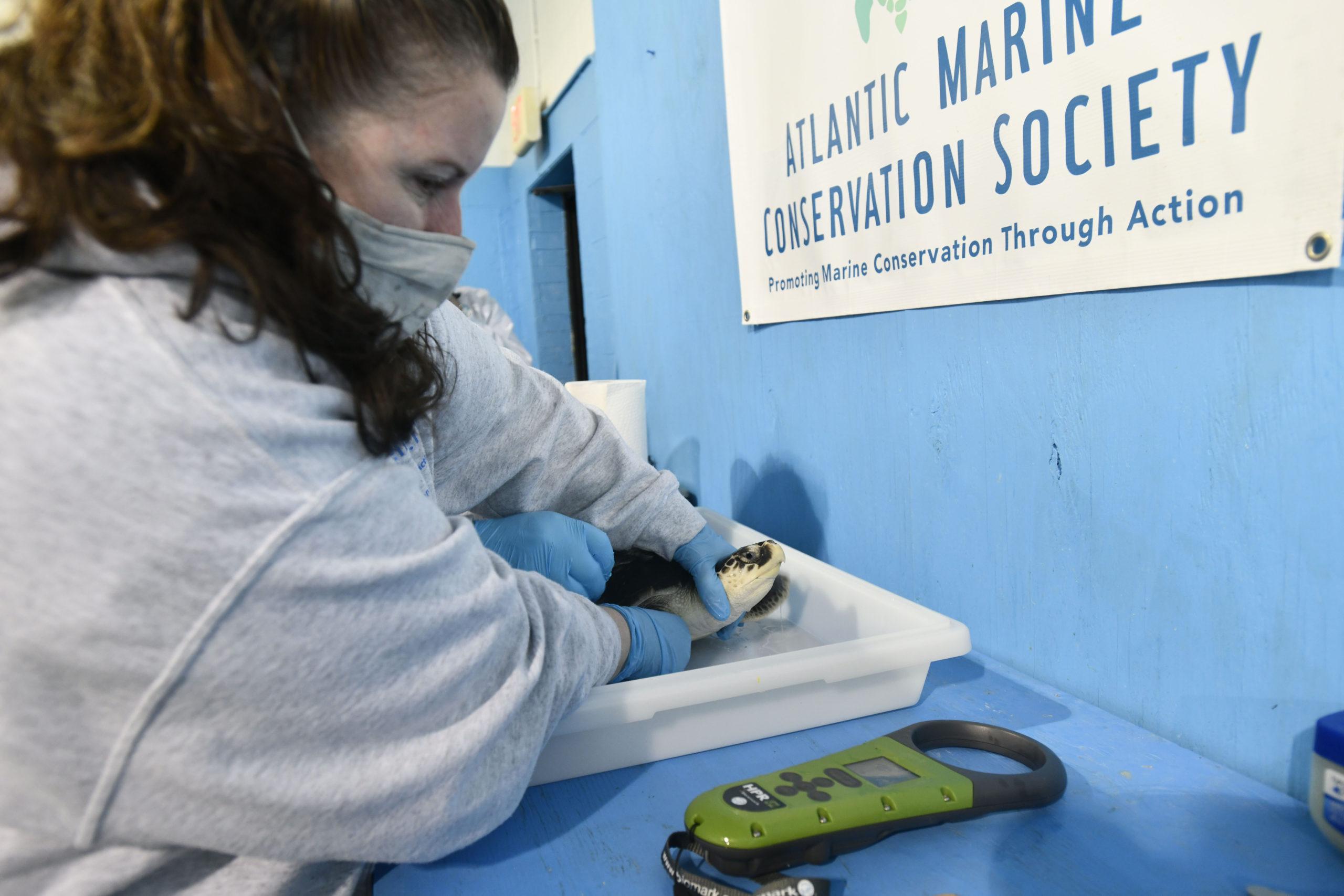 Research Associate and Field Biologist Allison DePerte prepares a Kemp's ridley for its journey.             DANA SHAW