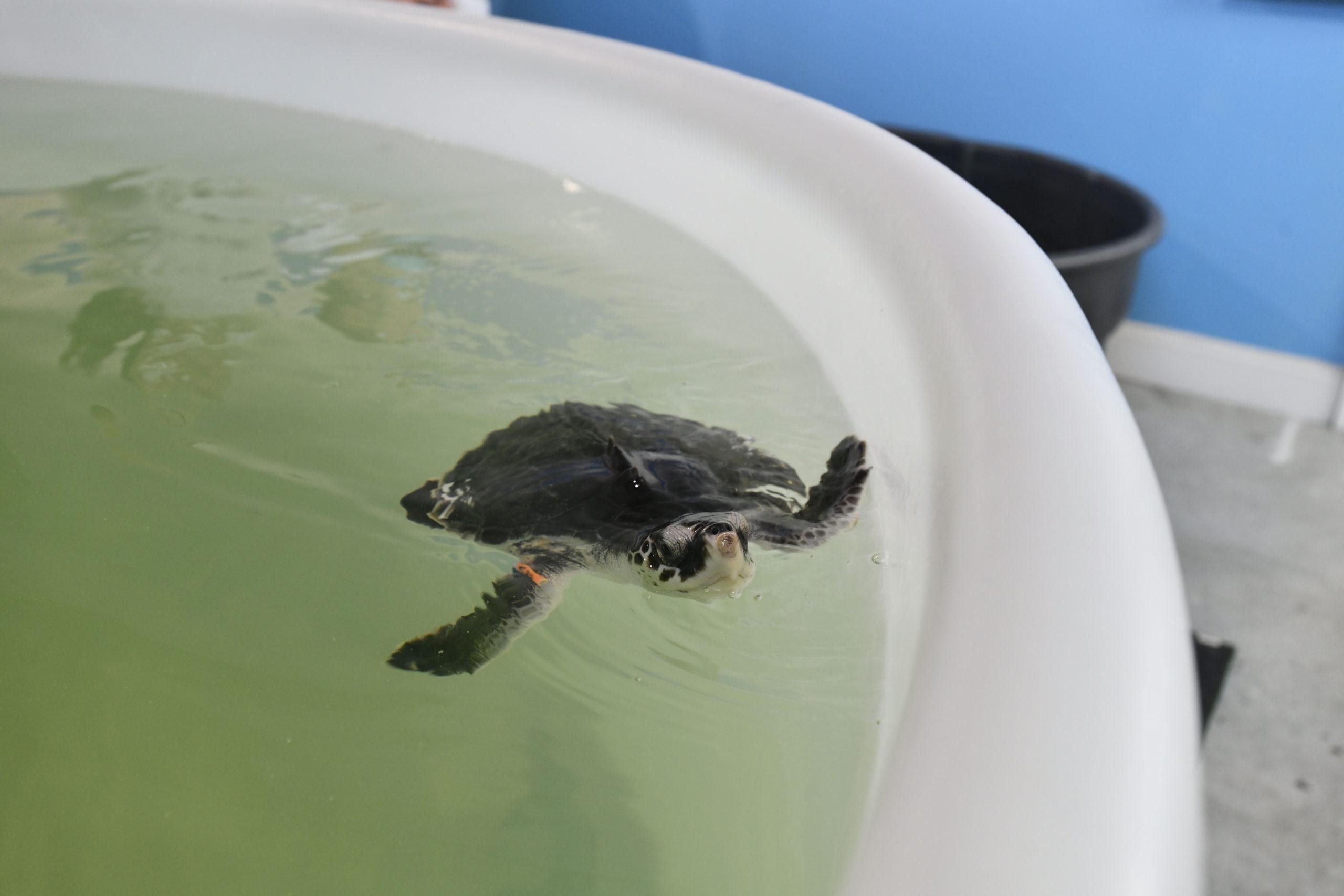One of the rehabilitated Kemp's ridley turtles at AMSEAS.    DANA SHAW