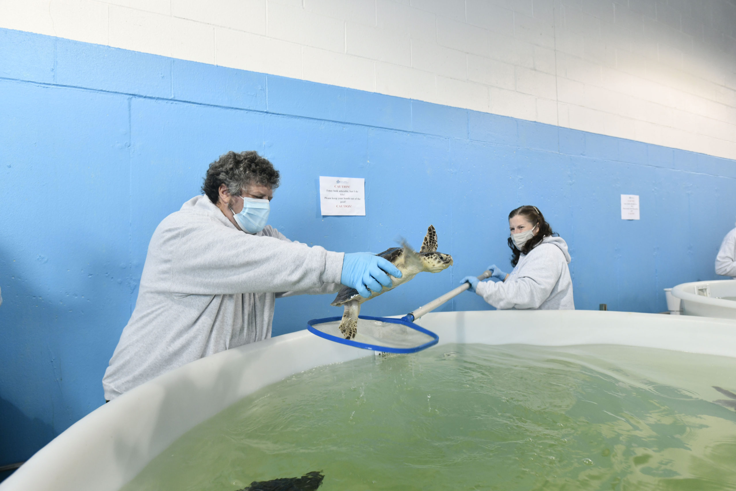 AMSEAS Founder and Chief Scientist Robert A. DiGiovanni, Jr. and Allison DePerte, research associate and field biologist wrangle a Kemp's ridley turtle in preparation for its trip to Florida.  DANA SHAW