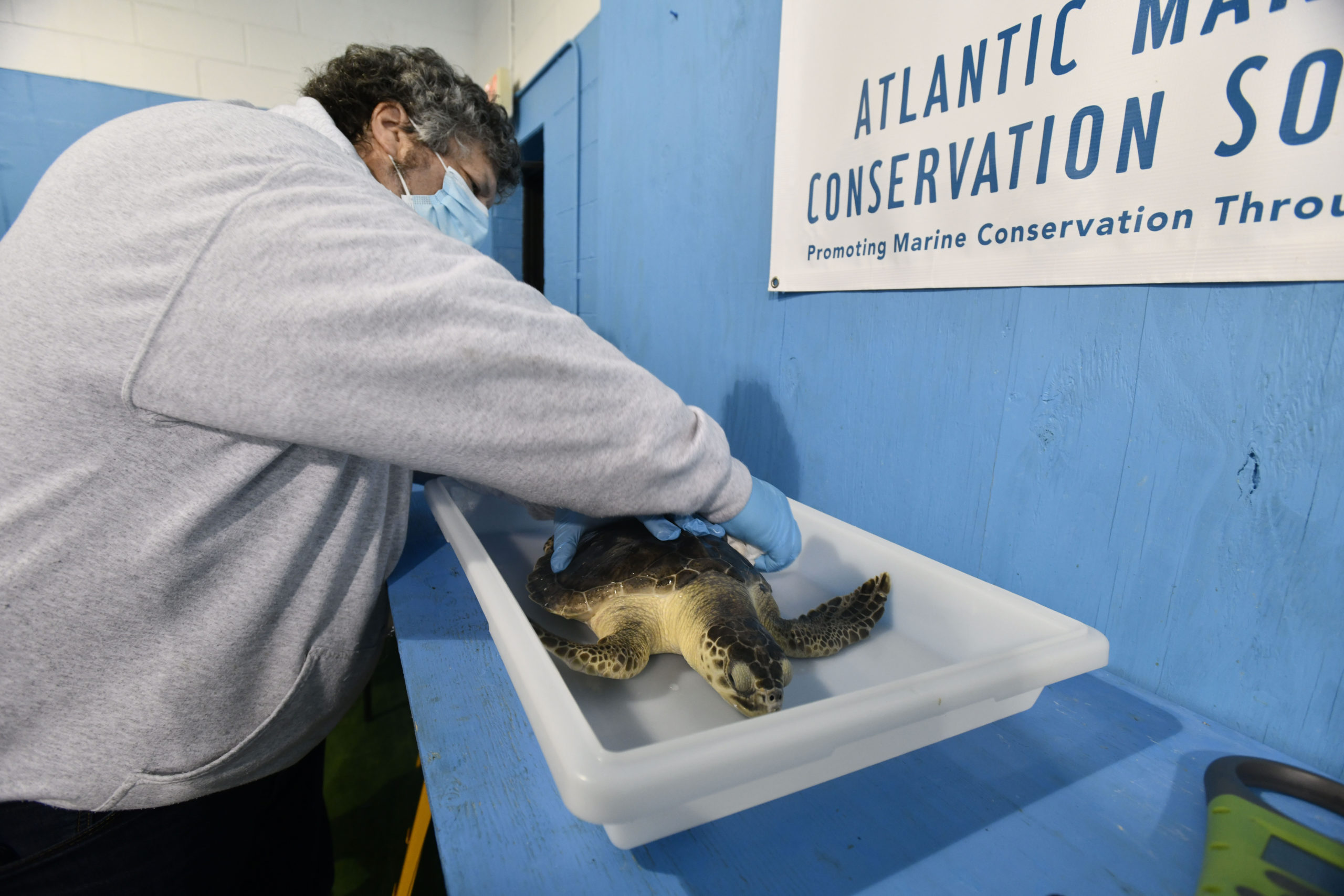 A Kemp's ridley turtle is prepared for its trip to Florida.  DANA SHAW