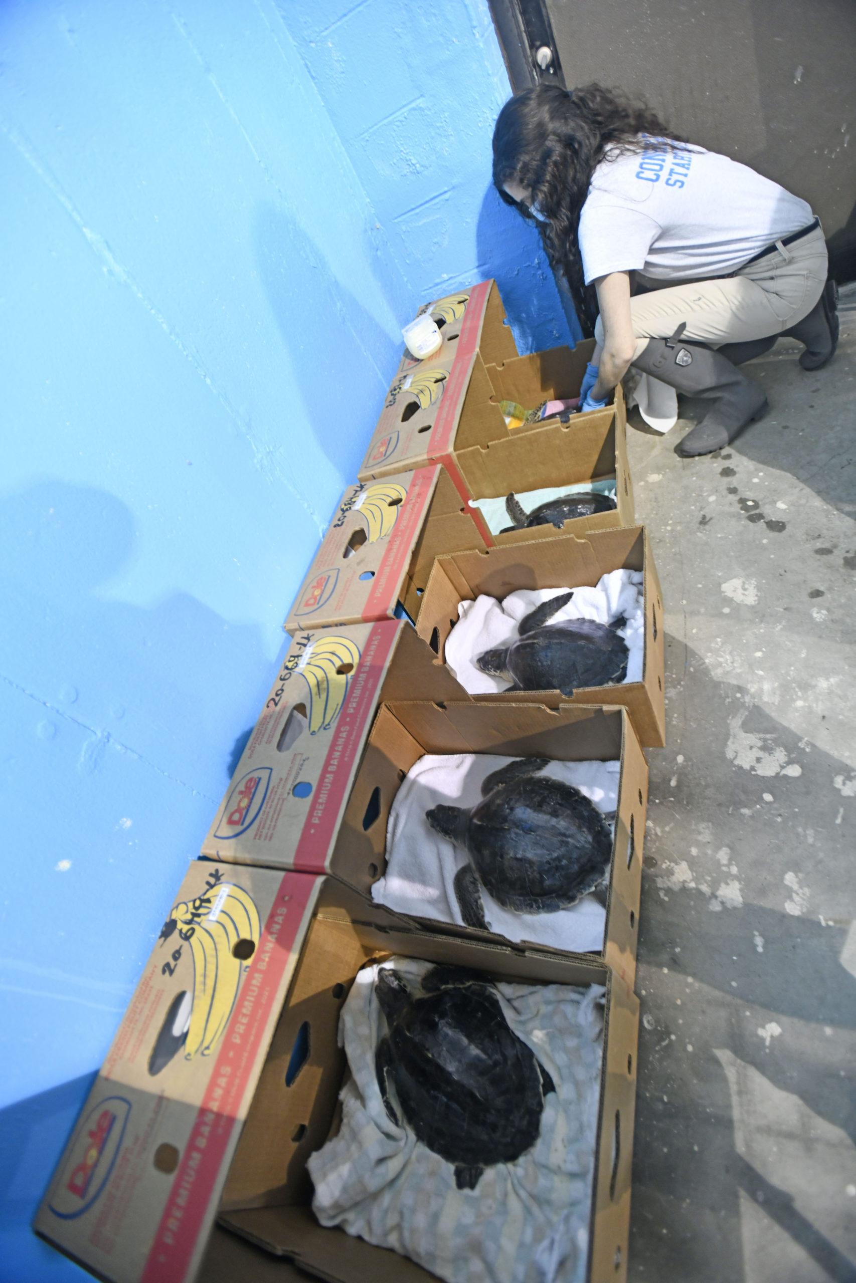 Sammi Chaves prepares the turtles for their trip.  DANA SHAW