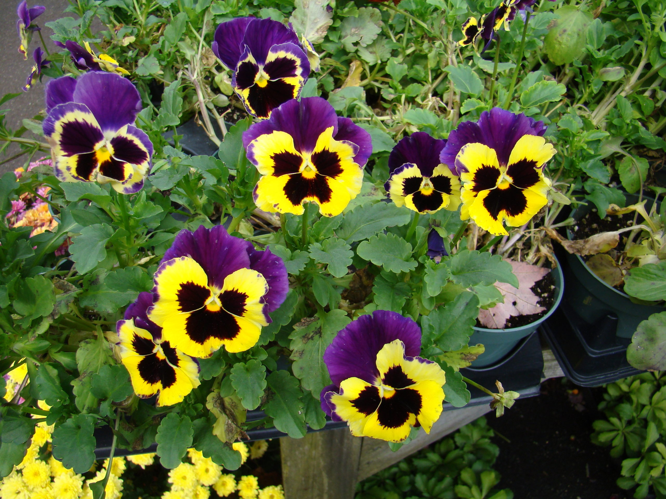 A classic old-fashioned pansy at a local garden center in a 4-inch pot.  This photo was taken in October, showing how versatile this plant can be even for late-season use in pots or planters.