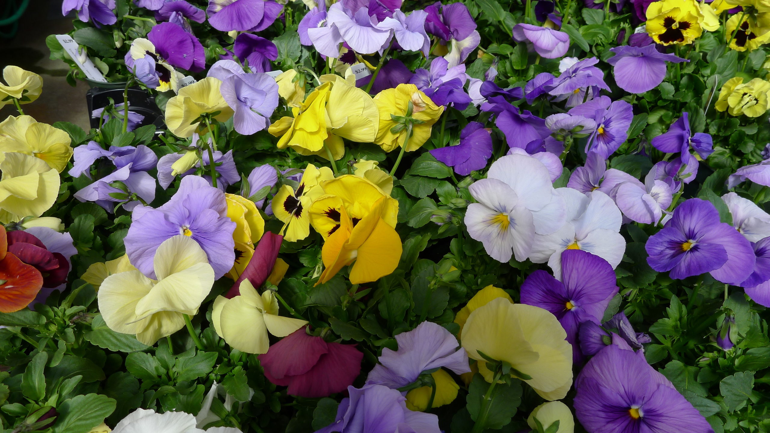 You can find lots of pansy and Viola offerings right now at local garden centers.
