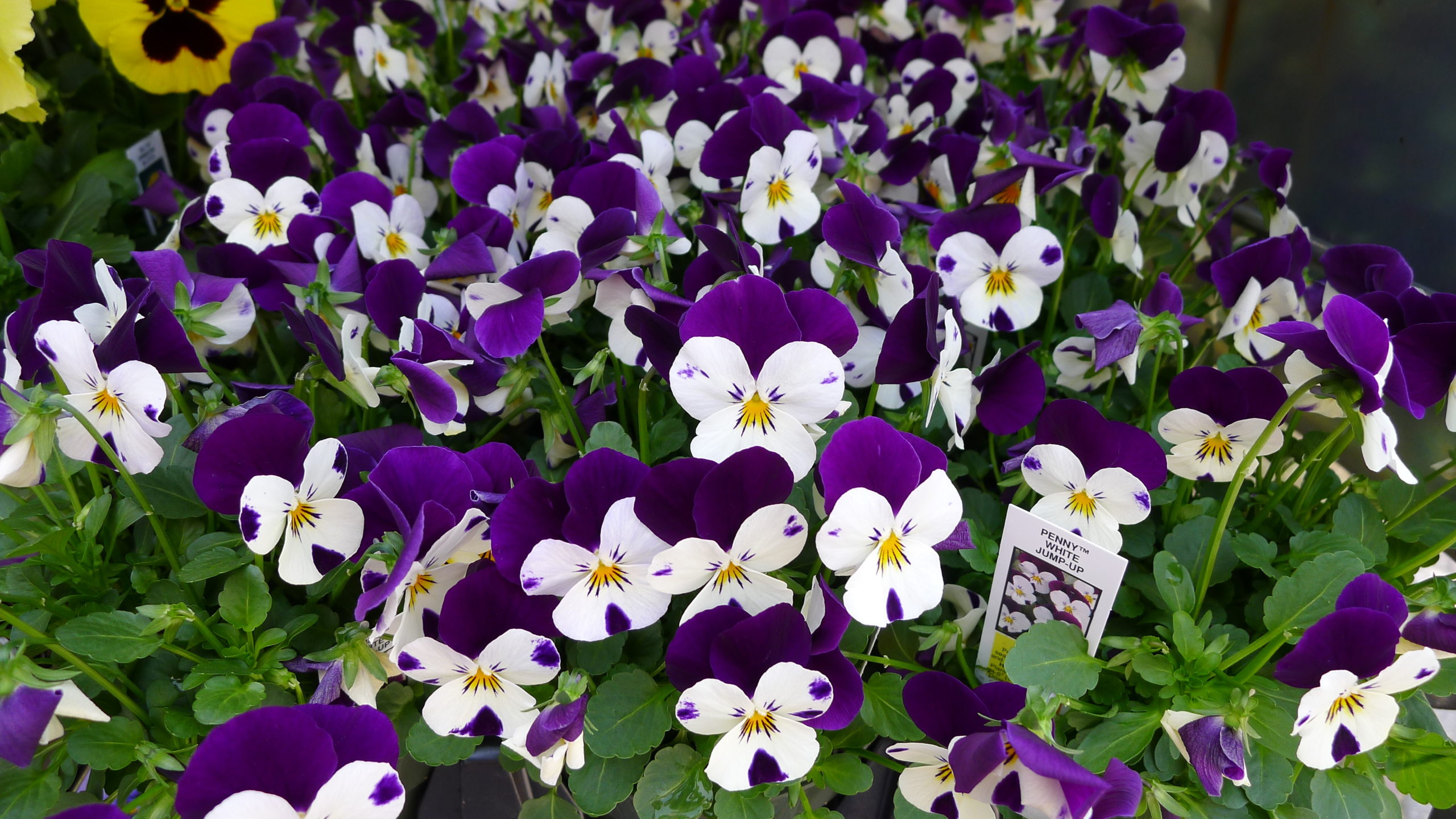 This is the Penny White series of hybrid viola Johnny-Jump-Up. Note the two upper petals and three lower petals confirming its viola lineage.