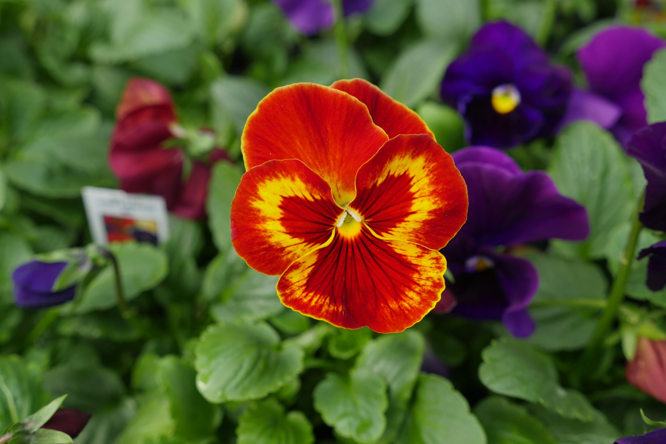 The vibrant colors on this flower show the depth of breeding in these plants over the past two decades. Is this a pansy or viola?