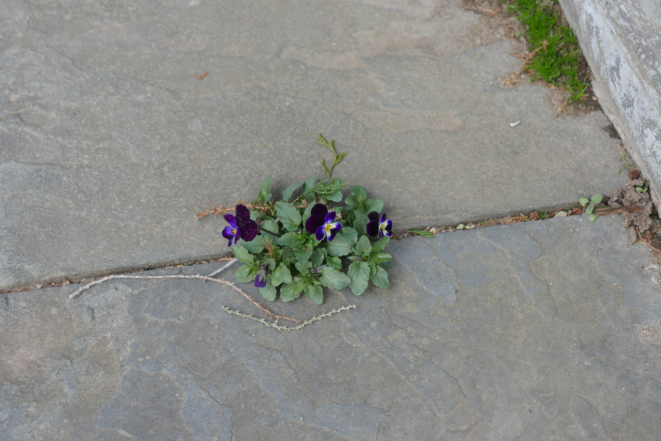 Emerging from between the cracks in patio pavers, this 3-inch plant of Viola Bowles Black was taken in late March.  In some areas it may flower sooner as the pavers tend to retain the daytime heat resulting in early blooms.