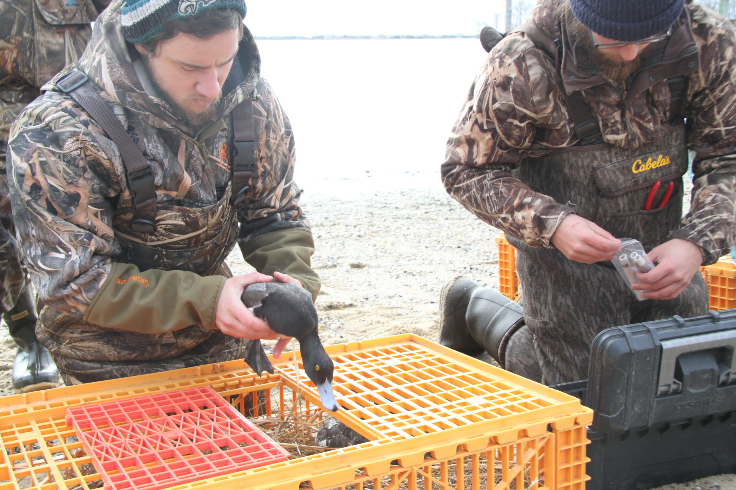 The Long Island Wildfowl Heritage Group and SUNY College of Environmental Science and Forestry are teaming up to band scaup ducks in local bays.