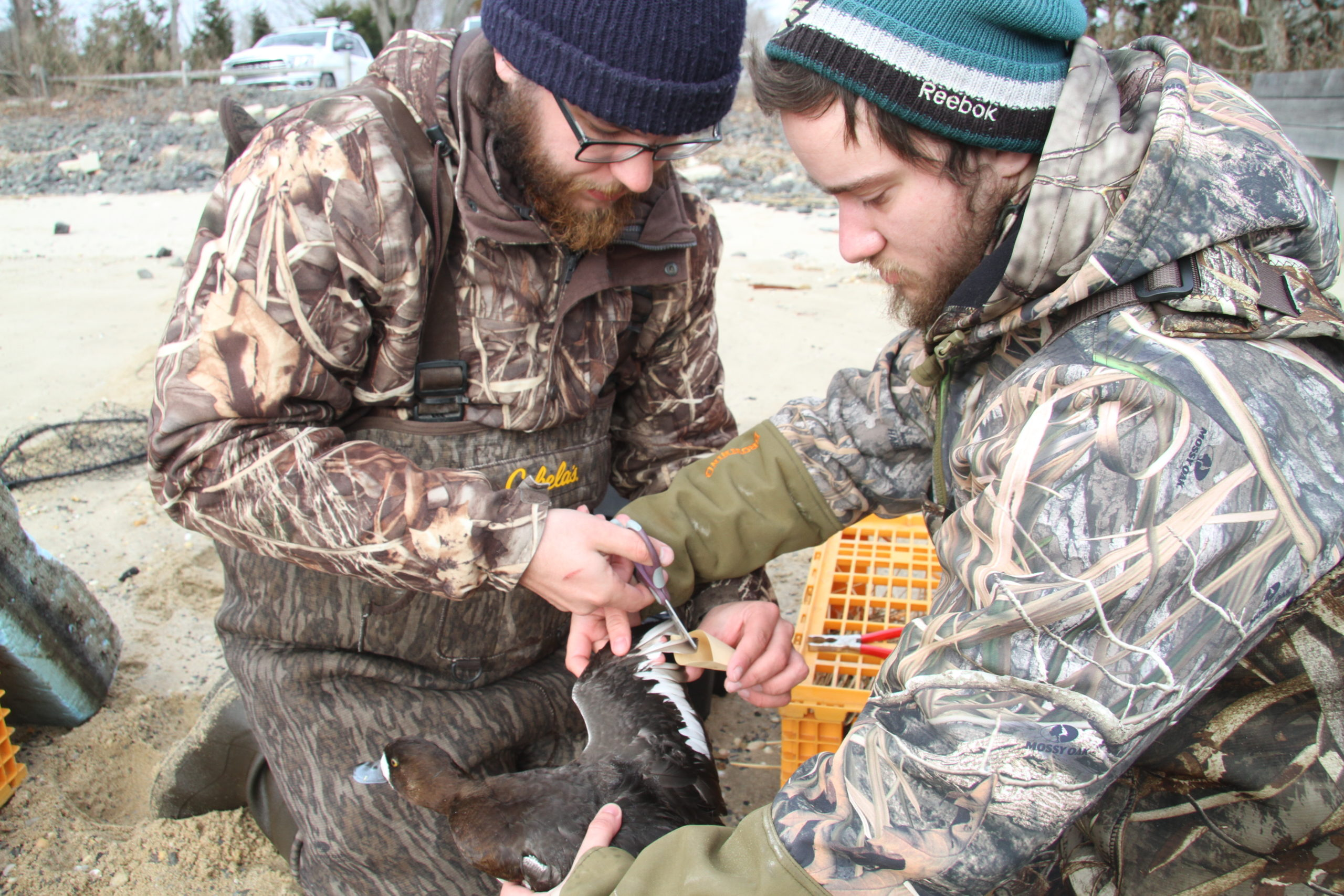 The Long Island Wildfowl Heritage Group and SUNY College of Environmental Science and Forestry are teaming up to band scaup ducks in local bays. MICHAEL WRIGHT