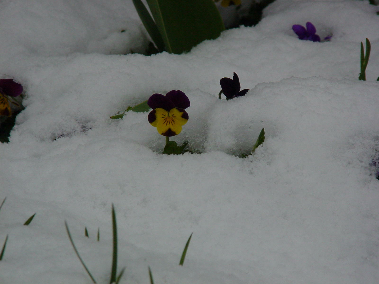 A Johnny-Jump-Up is undaunted by an early April snow cover.