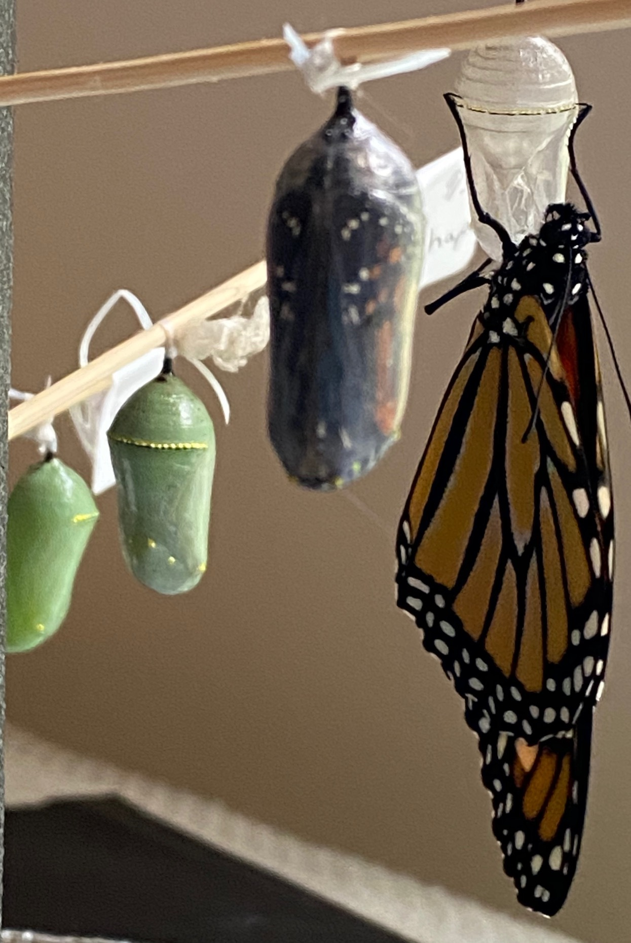 "Monarchwatch.com helped Cindy Warne of Sag Harbor raise 24 Monarchs from larvae. Friends gave them names like ""Frida Khalo"" and ""El Chapo"" before watching them shed their skin and fly off to Mexico."