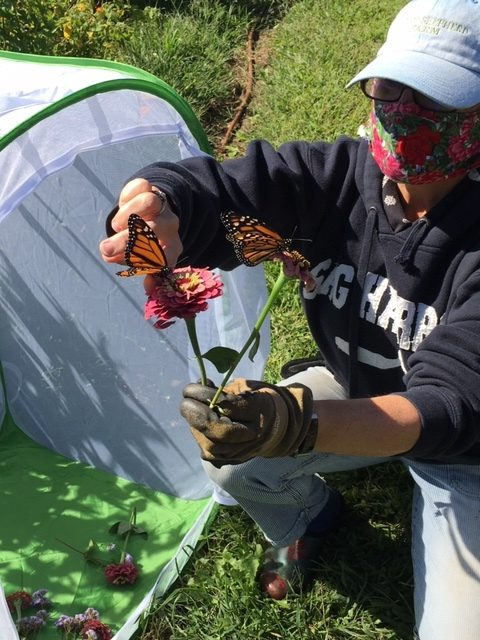 Citizen scientist Cindy Warne lures reluctant butterflies out of their cage with bright flowers before they flit off to Michoacan, Mexico.