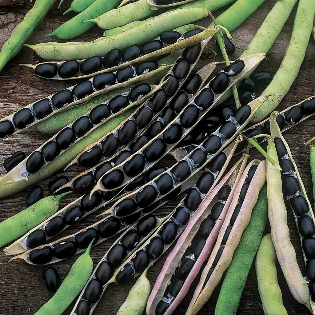 Black Valentine is a bush bean introduced in 1987 and can be used fresh or as a dry bean in soups. The pods are 6 inches long, and the plants tolerate cool temperatures for early and late sowings.