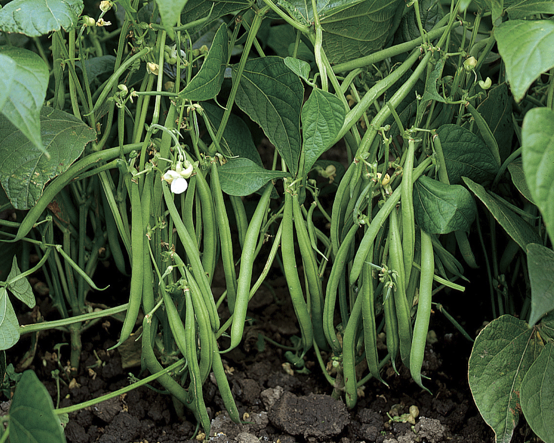 Bush beans like these Jamesons grow close to the ground on bushy plants. This variety has multiple disease resistances with the pods being 6 inches long and the plants only growing to 5 feet long.  Sometimes this variety is offered at garden centers in packs ready to plant.