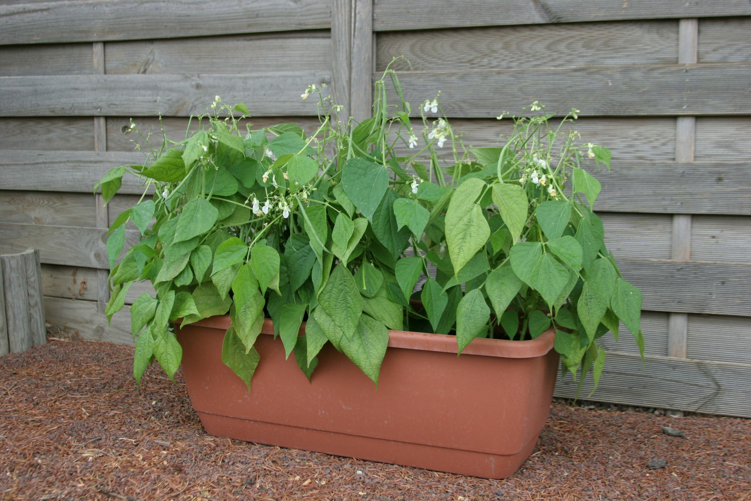 Mascotte is a fast (50 days) growing bean that provides plentiful crops on plants that are container friendly. This bush-type grows 15 inches tall with large white blooms that result in tender, stringless beans.