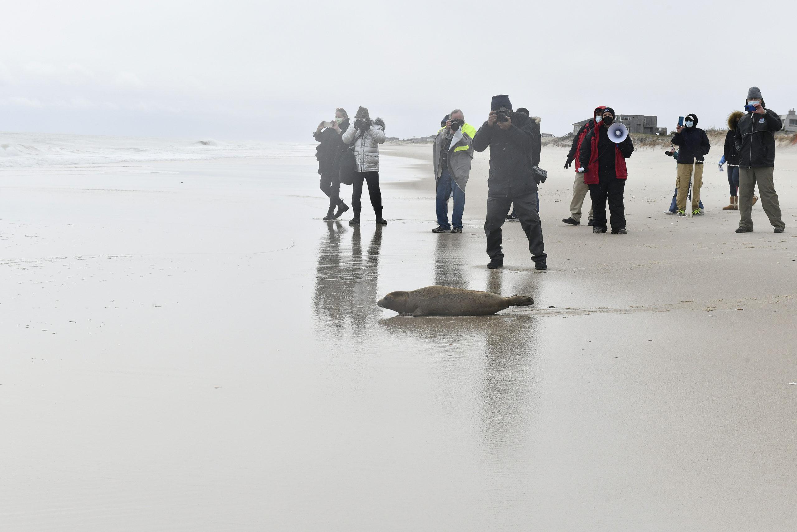 Harbor seal Joan Jett makes her way to the water.  DANA SHAW