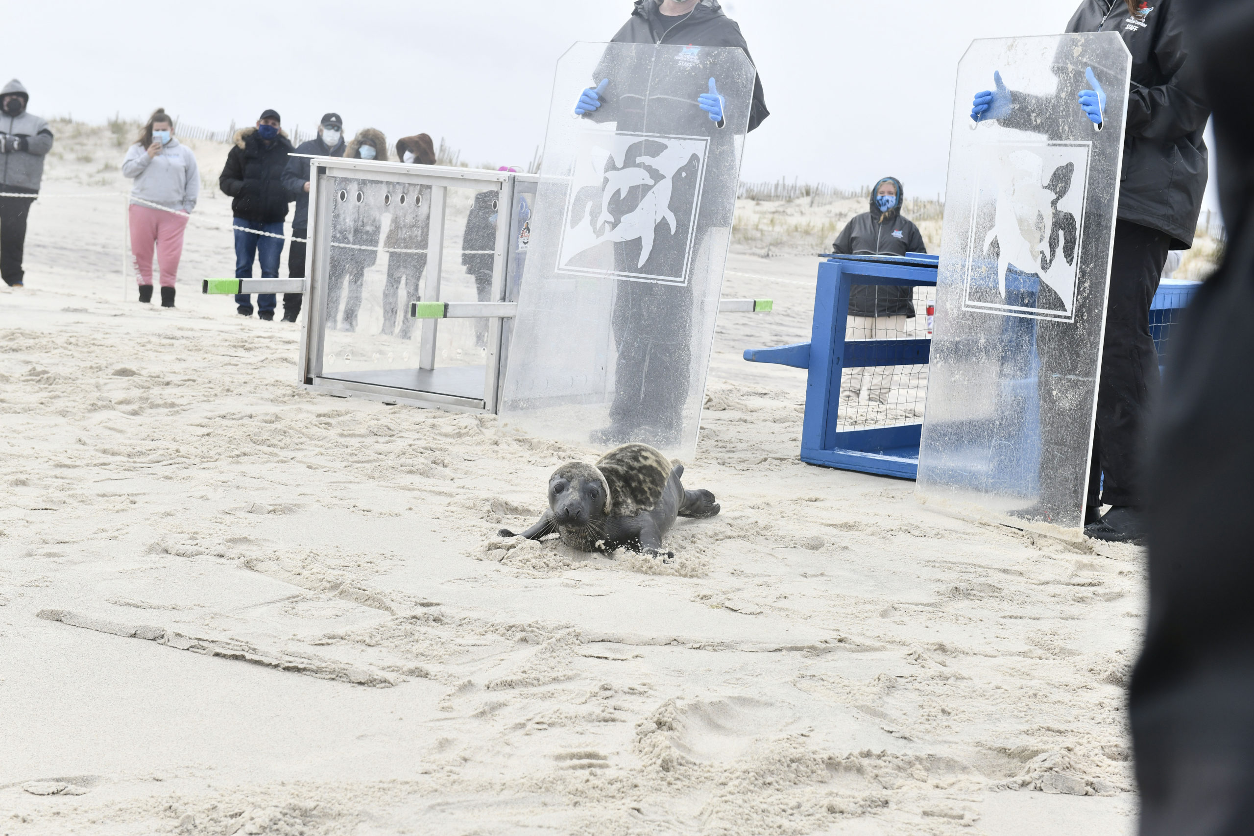 Gray seal Billy Joel is released at Tiana Beach on Friday.   DANA SHAW