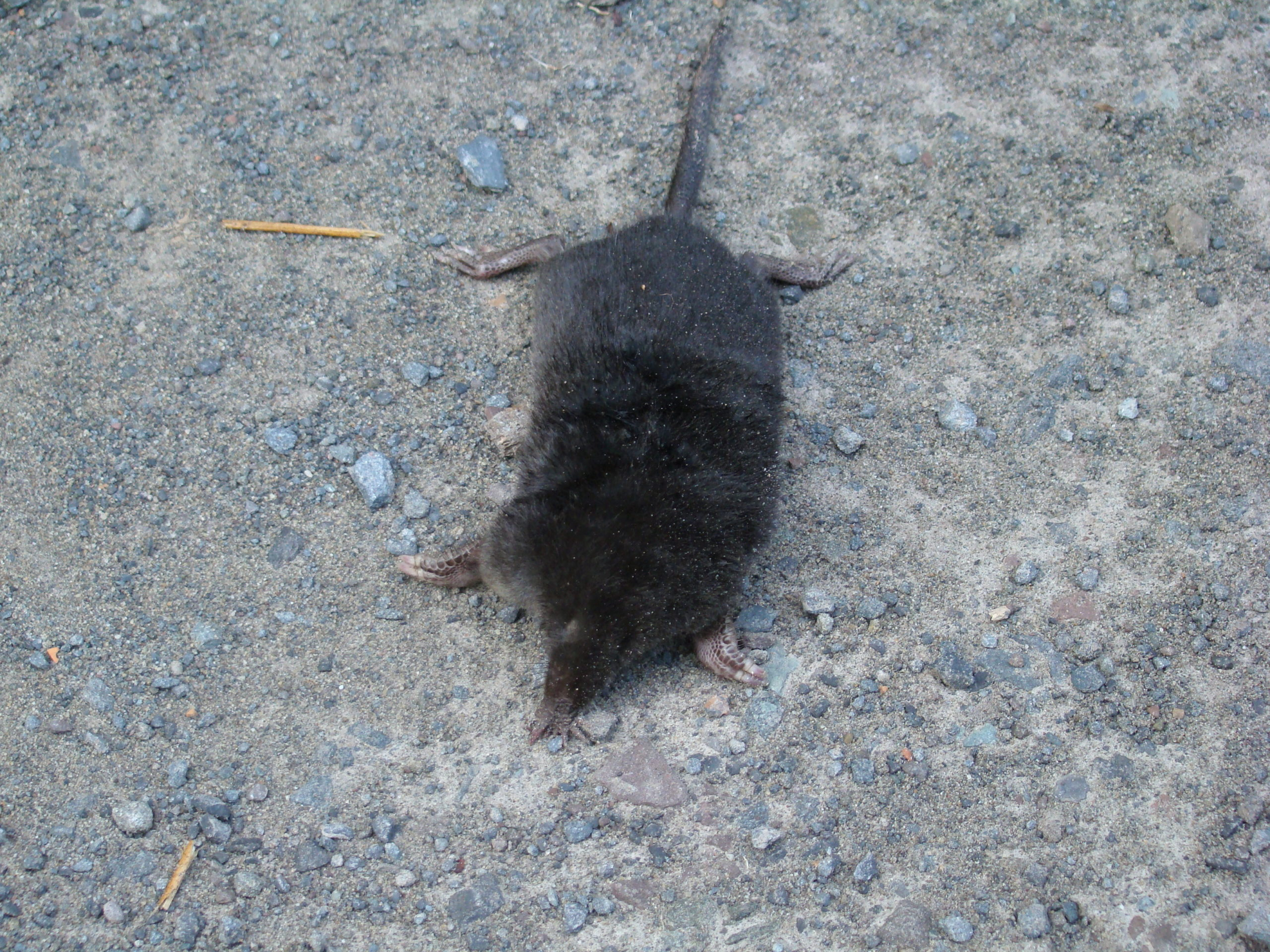 This is a mole. Note the feet designed for digging and tunneling, the lack of visible eyes and the long and narrow snout used for locating grubs, worms and other soil insects.