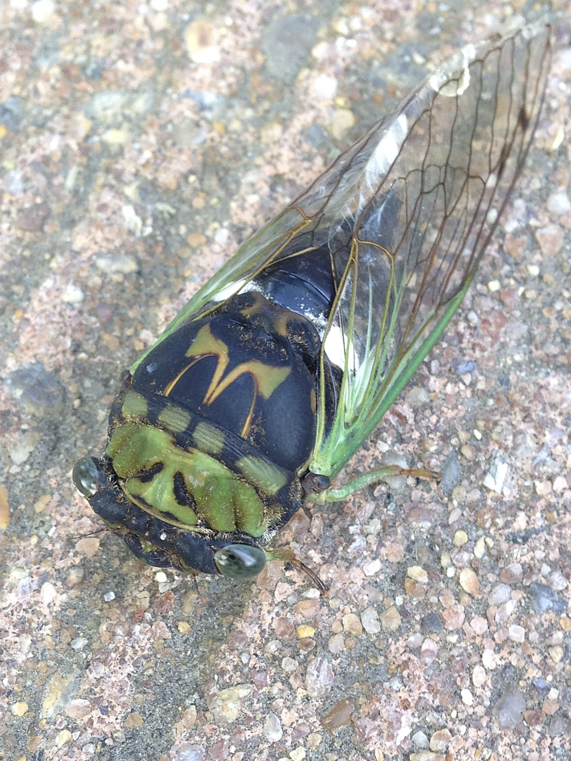 The cicada with blue-green wing veins is an annual or 'dog-day' cicada. These have a much shorter life cycle  and emerge later around mid-summer. Most people have heard the buzzing call of the males from high in the trees. They are here on Long Island every year.    DANA SHAW