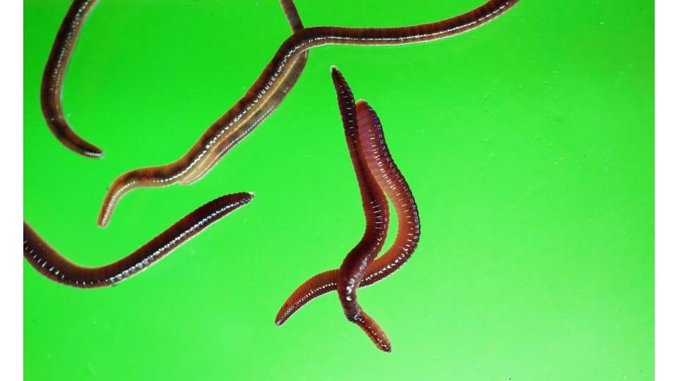 Earthworms from one of Lauren Ruiz's art installations.