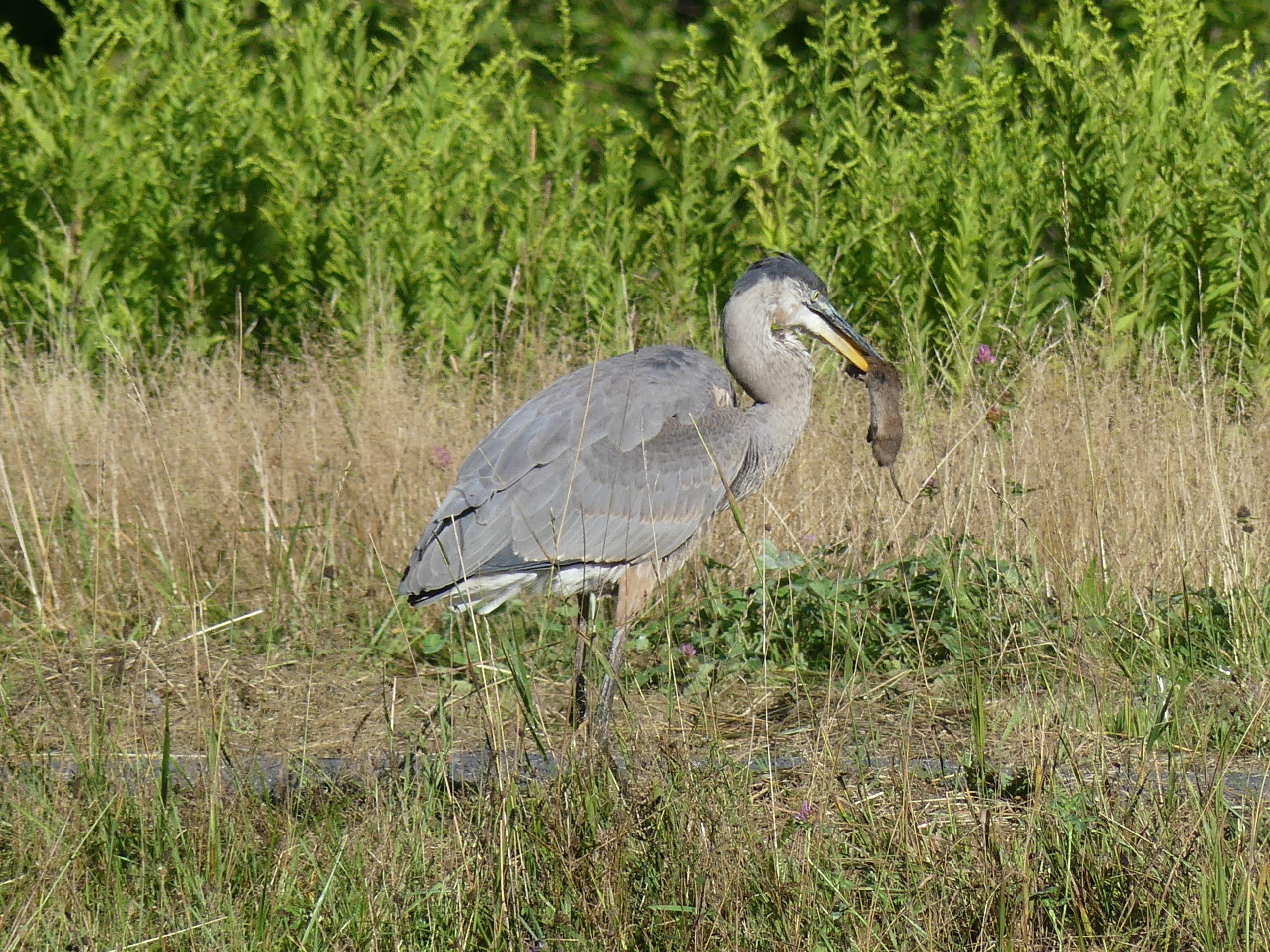 This great blue heron was patrolling a pond bank when it suddenly stopped, aimed at the ground and came up with a hamster-size vole. The vole went down in one gulp.