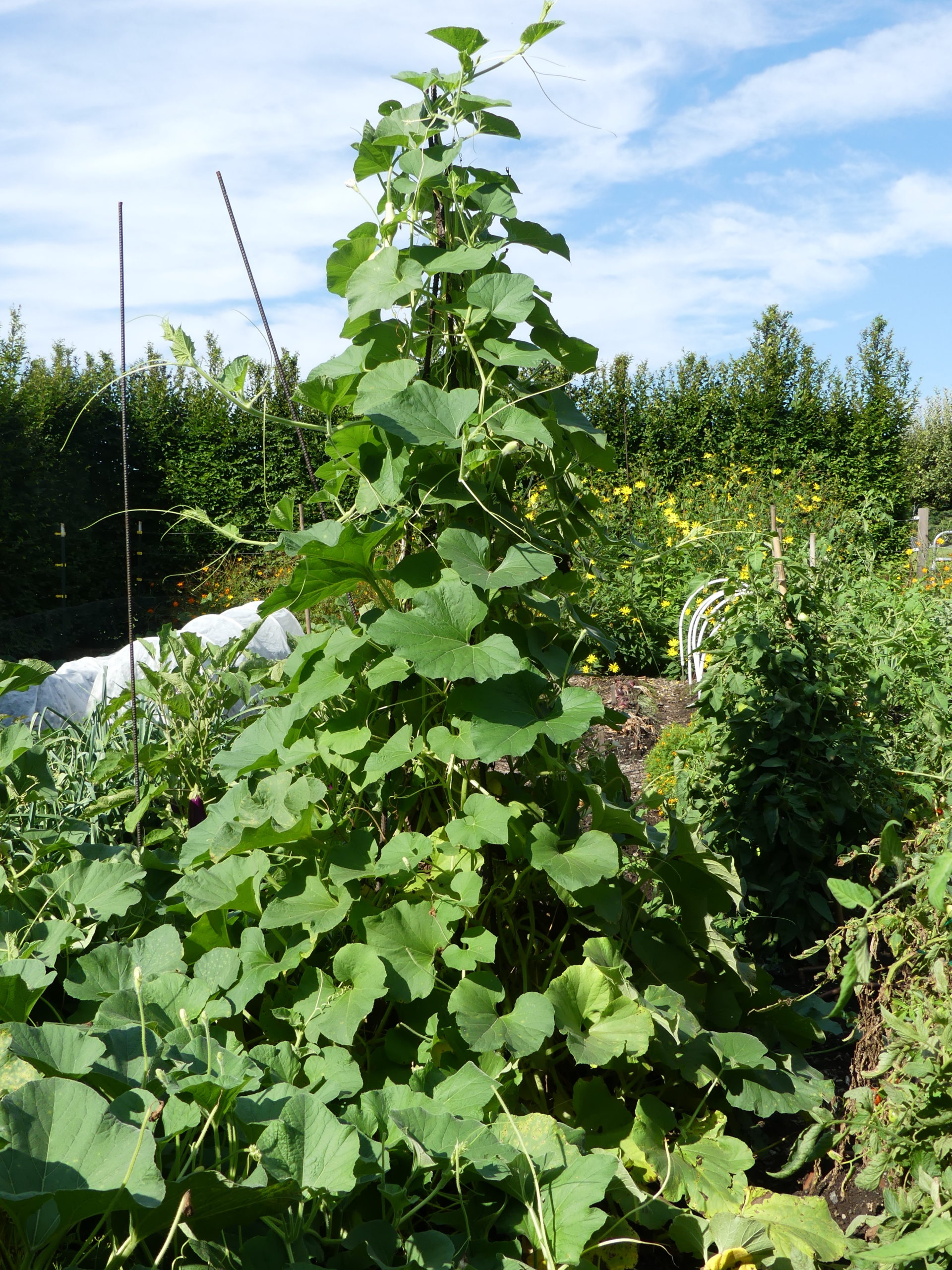 Pole beans are traditionally grown on stakes that form a cone or teepee.  These may have been the beans of Jack and the beanstalk.
