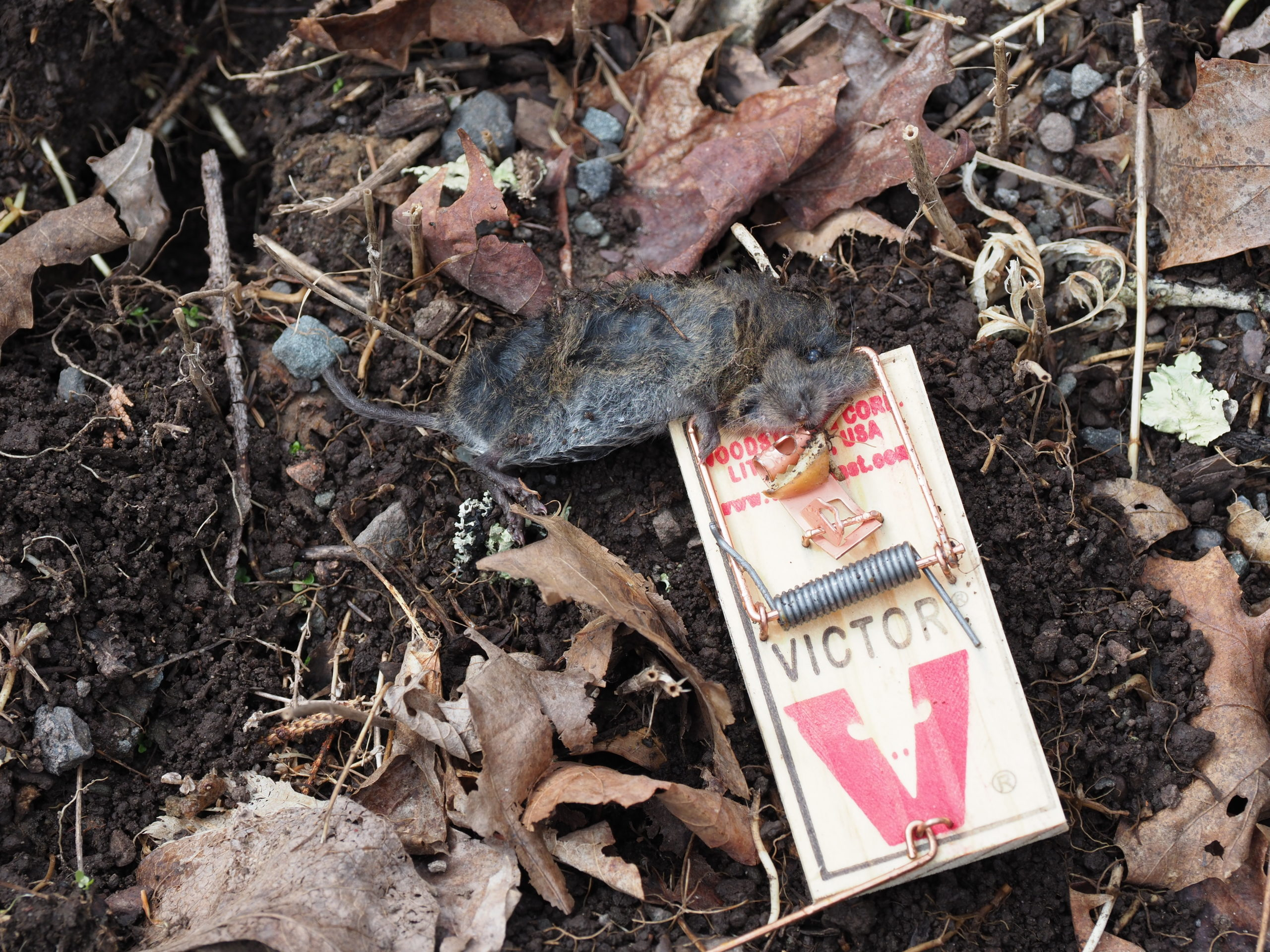 A vole emerged from its den to explore the mousetrap baited with a small piece of apple.  About the size of a field mouse, they have smaller eyes and can have darker fur with a shorter tail.