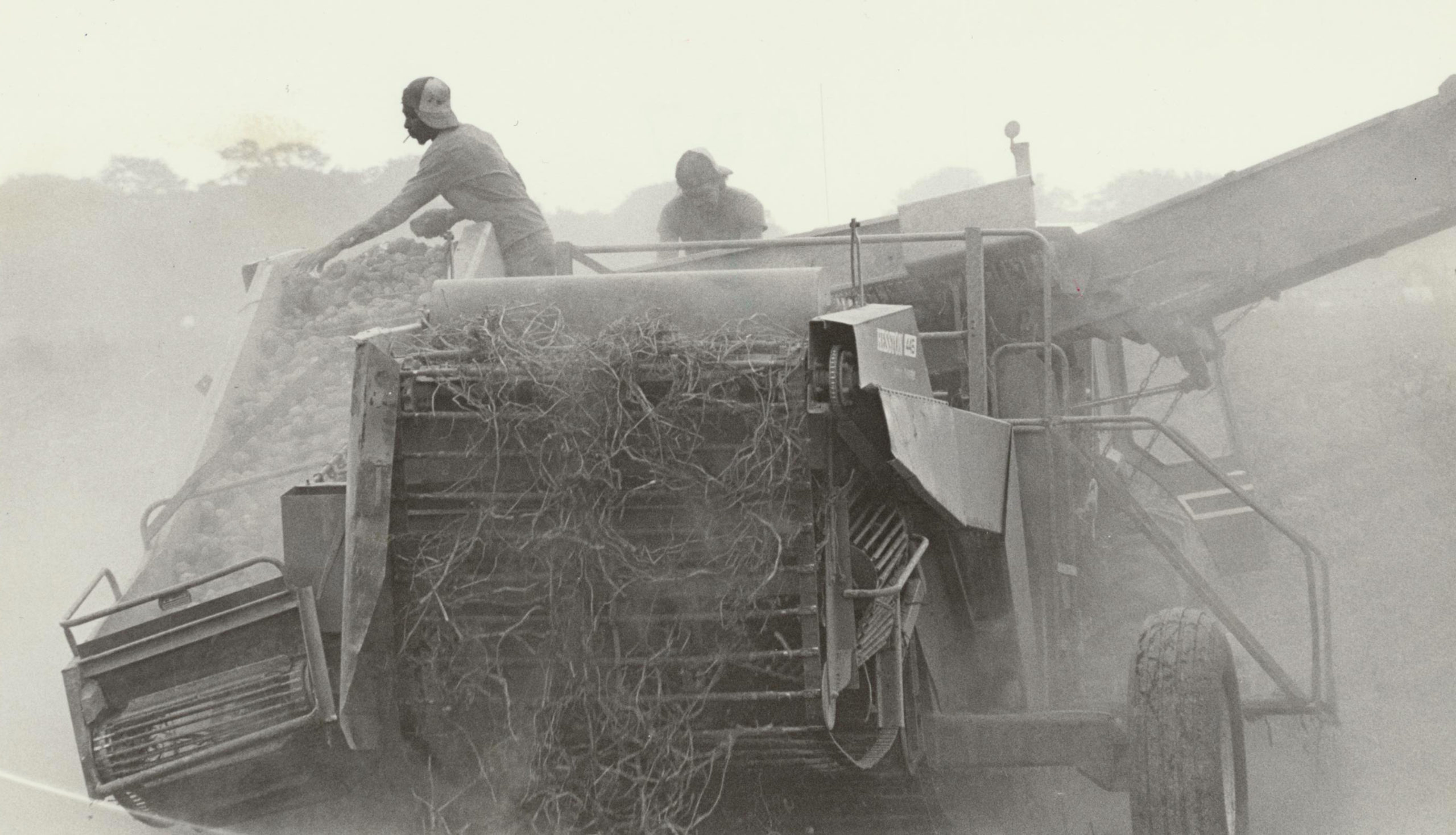 Workers harvesting potatoes on the South Fork.