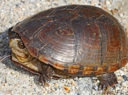 SOFO: Zoom Presentation: Searching for the Eastern Mud Turtle with Jake