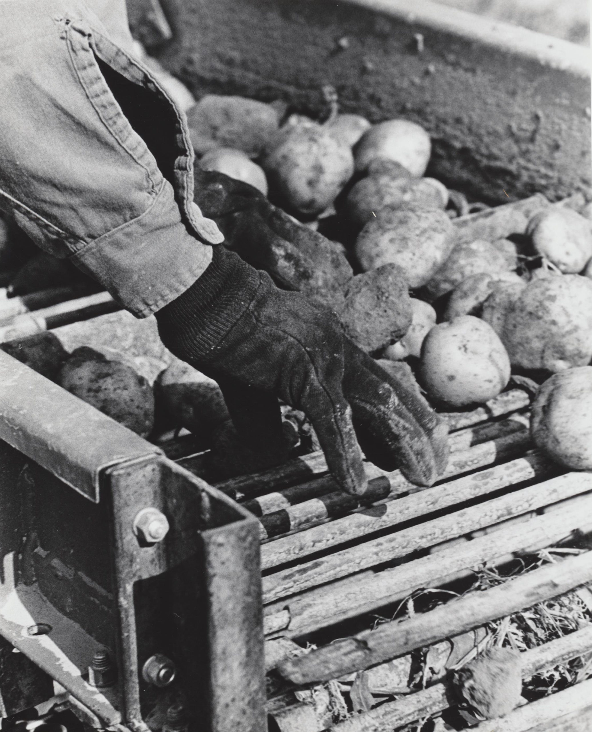 A worker on a South Fork potato farm.