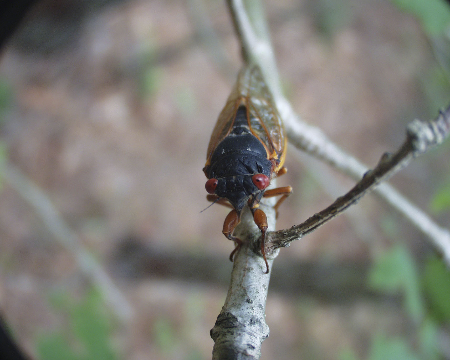 The cicadas with the red eyes are periodical cicadas, the same ones that will be emerging in large numbers this year in Maryland and some other areas. It is unlikely we'll see them on Long Island.  These cicadas have a 17-year life cycle and emerge around late May to early June.    COURTESY DANIEL OWEN  GILREIN