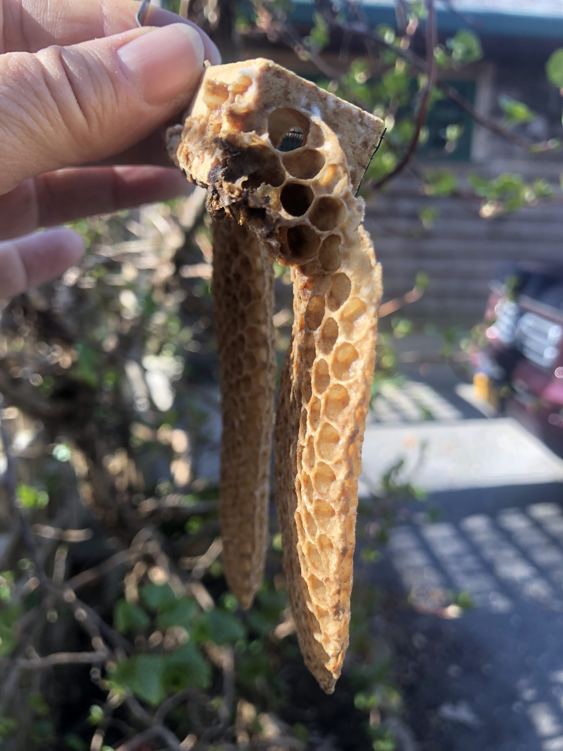 The comb seems to have been constructed to provide the queen with an easy pathway out of the queen cage and into the main hive body.