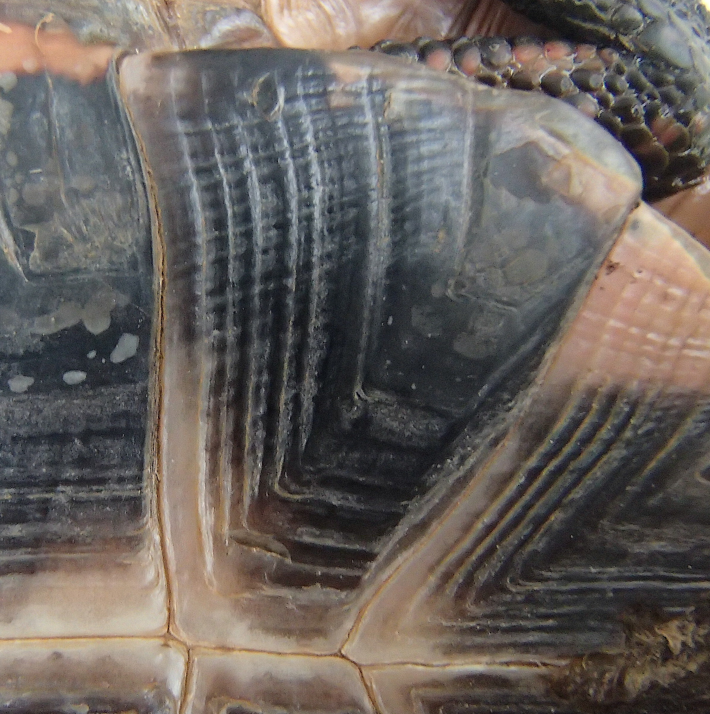 """A close up of the shell's """"annuli,"""" or growth rings, numbering eight on this turtle."""