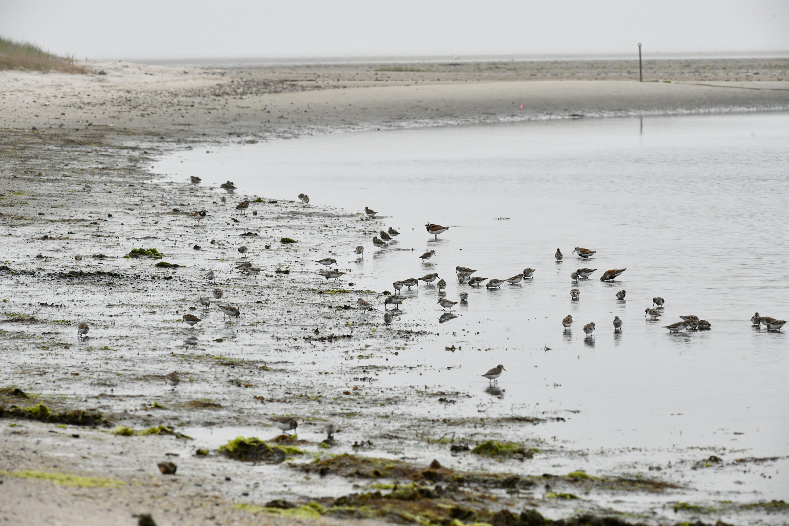 Shorebirds feast on horseshoe crab eggs after the mating frenzy.  DANA SHAW